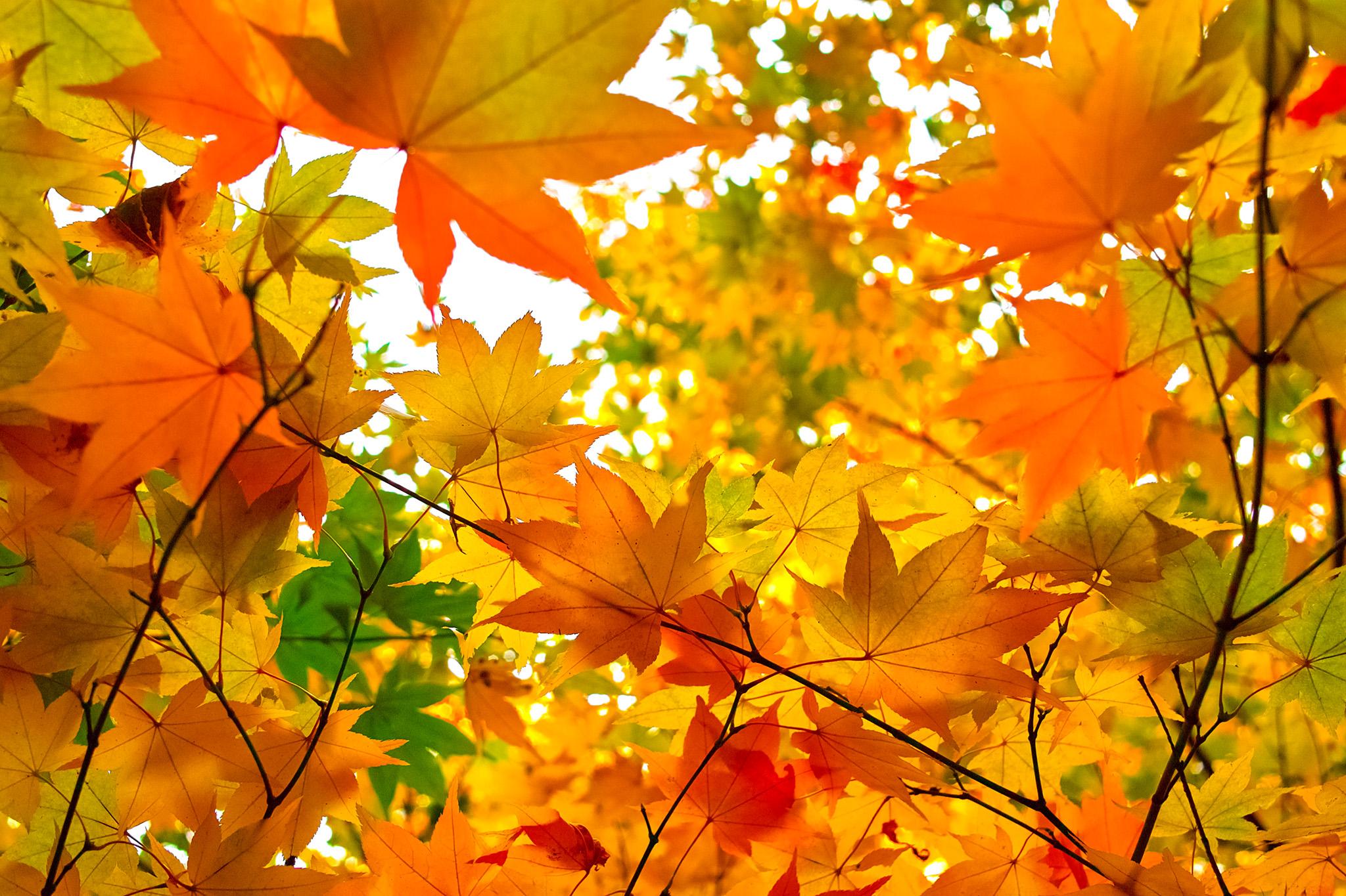 「秋色に染まる楓の葉」の写真素材を無料ダウンロード