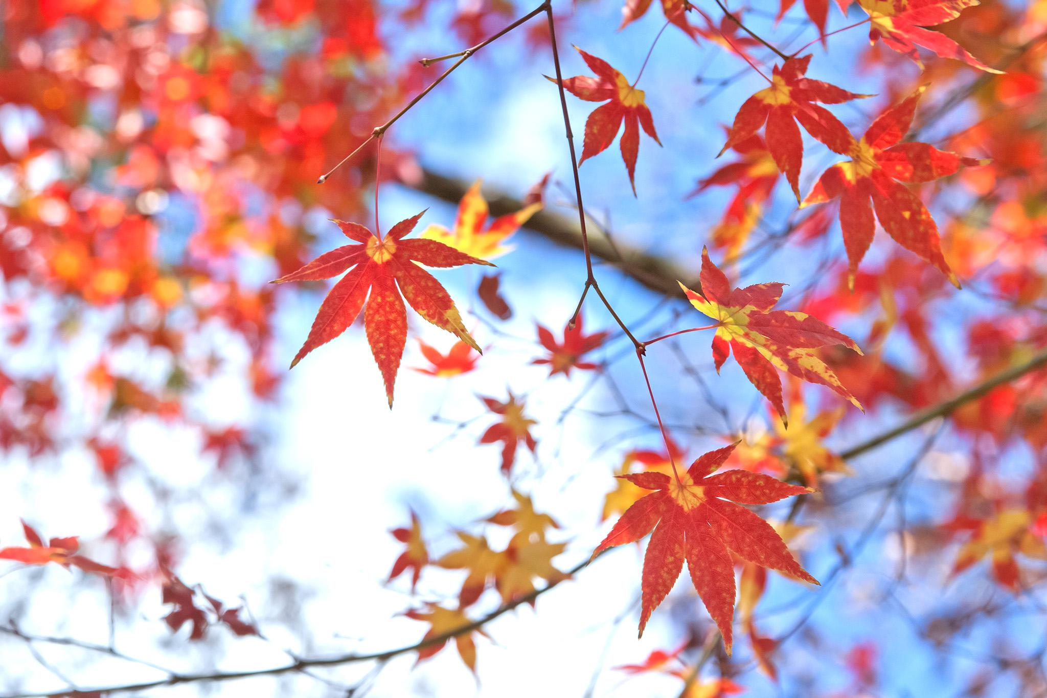 「秋の澄んだ空に映える紅葉」