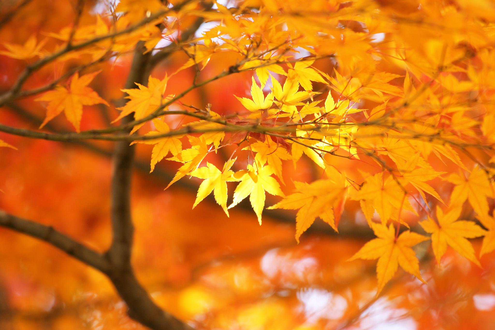 「金色に輝く美しい秋の木々」