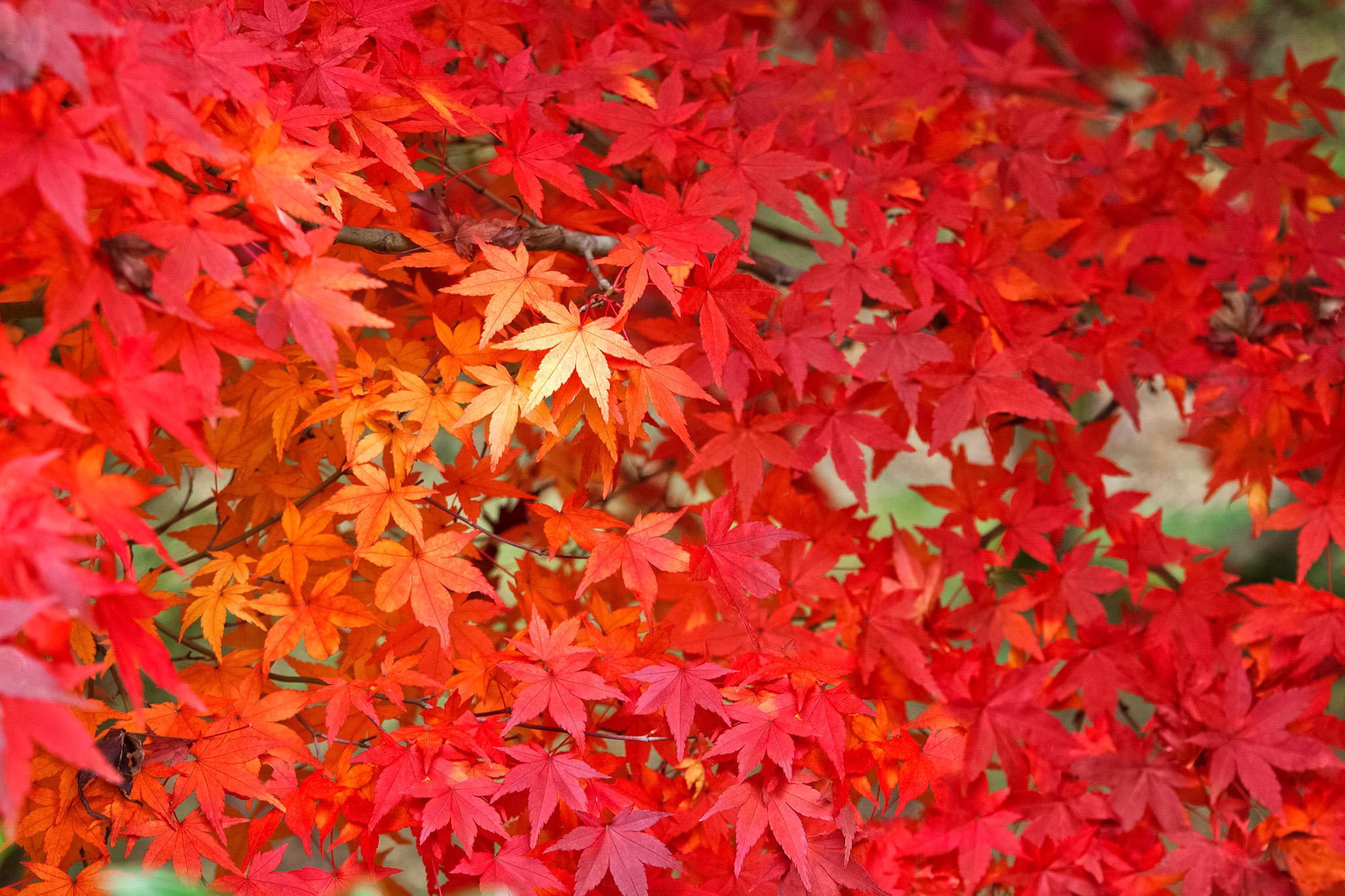 「鮮やかに紅葉する葉」