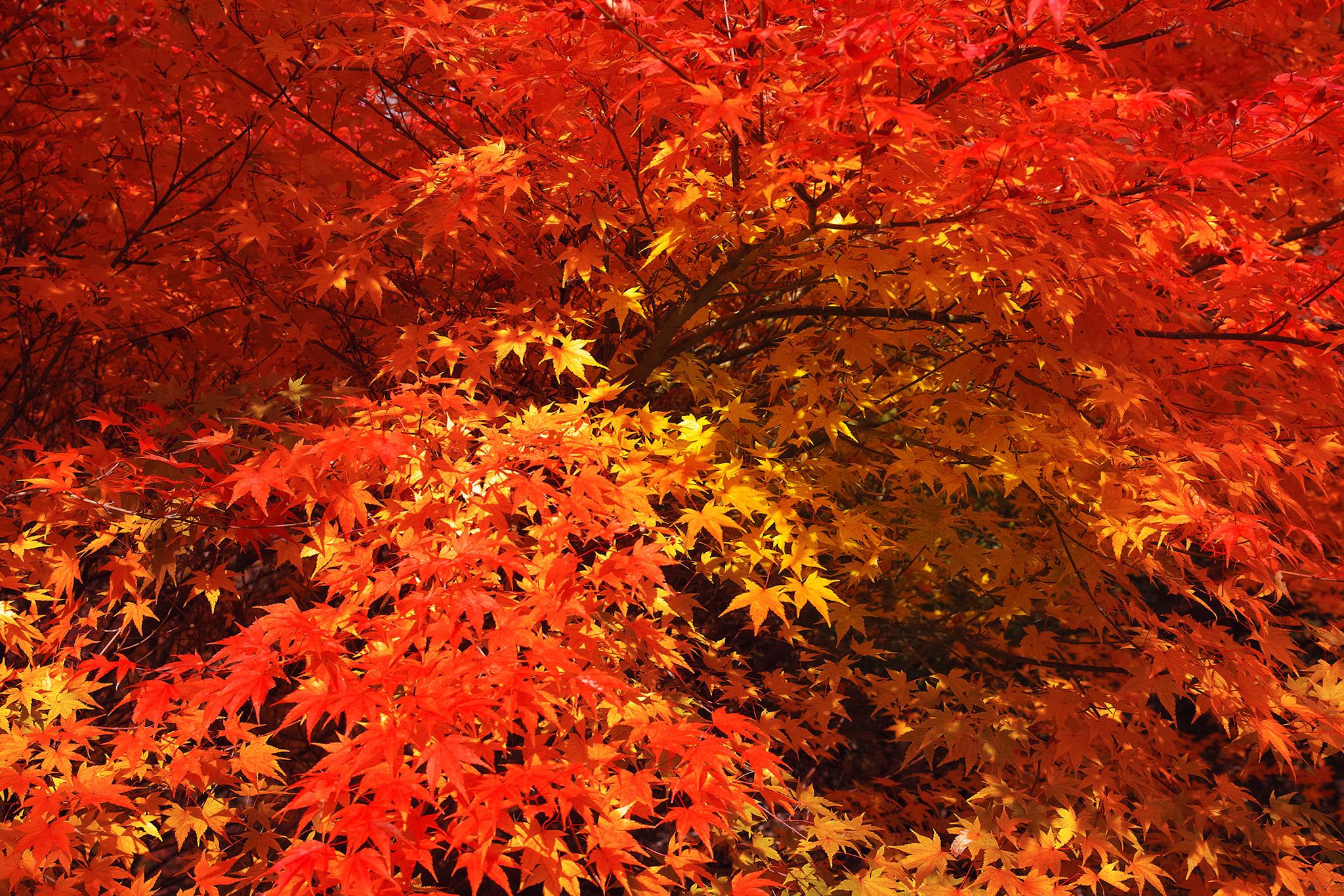 「美しい紅葉と黄葉の背景」