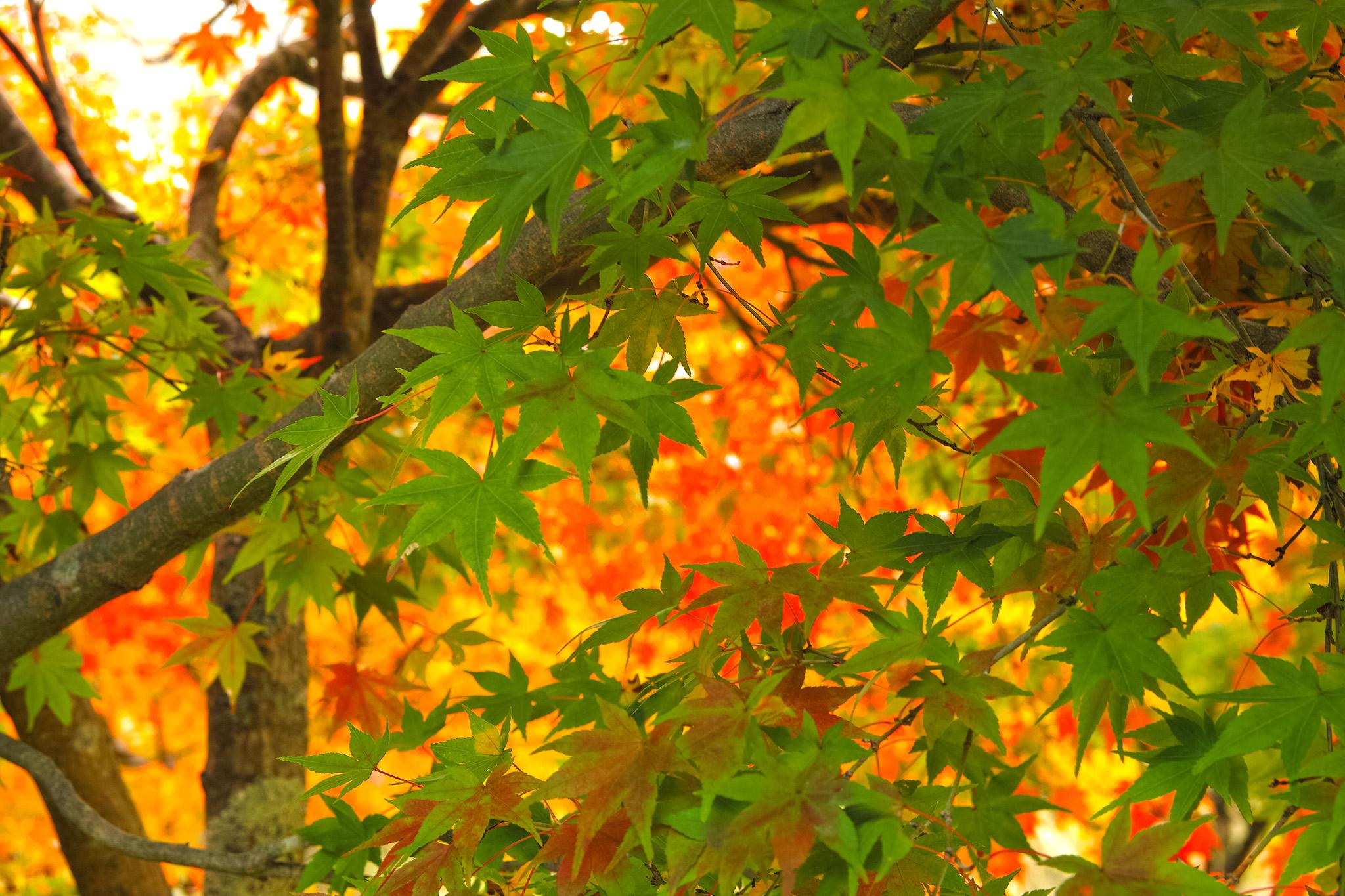 「黄葉の中に残る青葉」の写真素材を無料ダウンロード