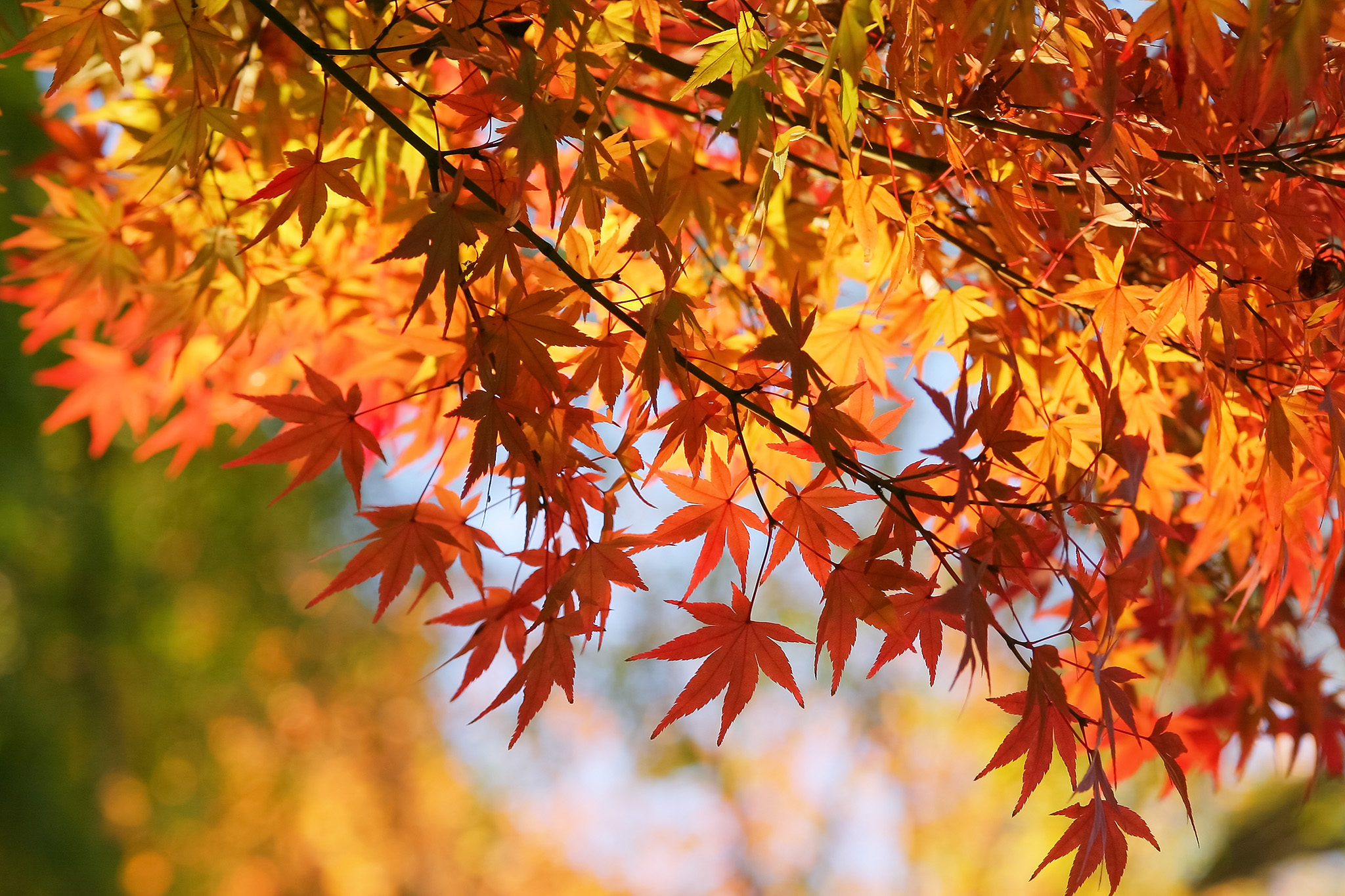 「秋の日光に煌めく紅葉」