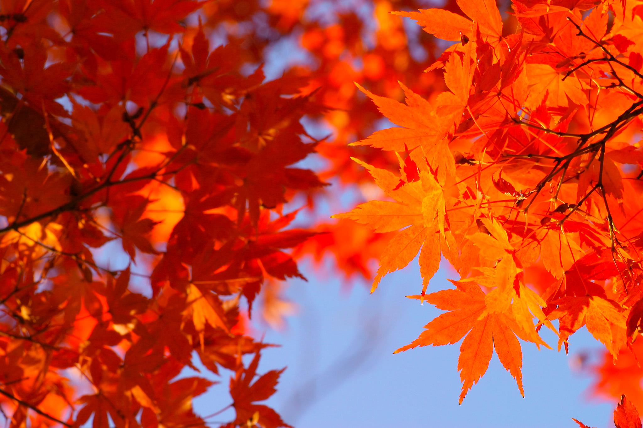 「秋の空と橙色のもみじ」