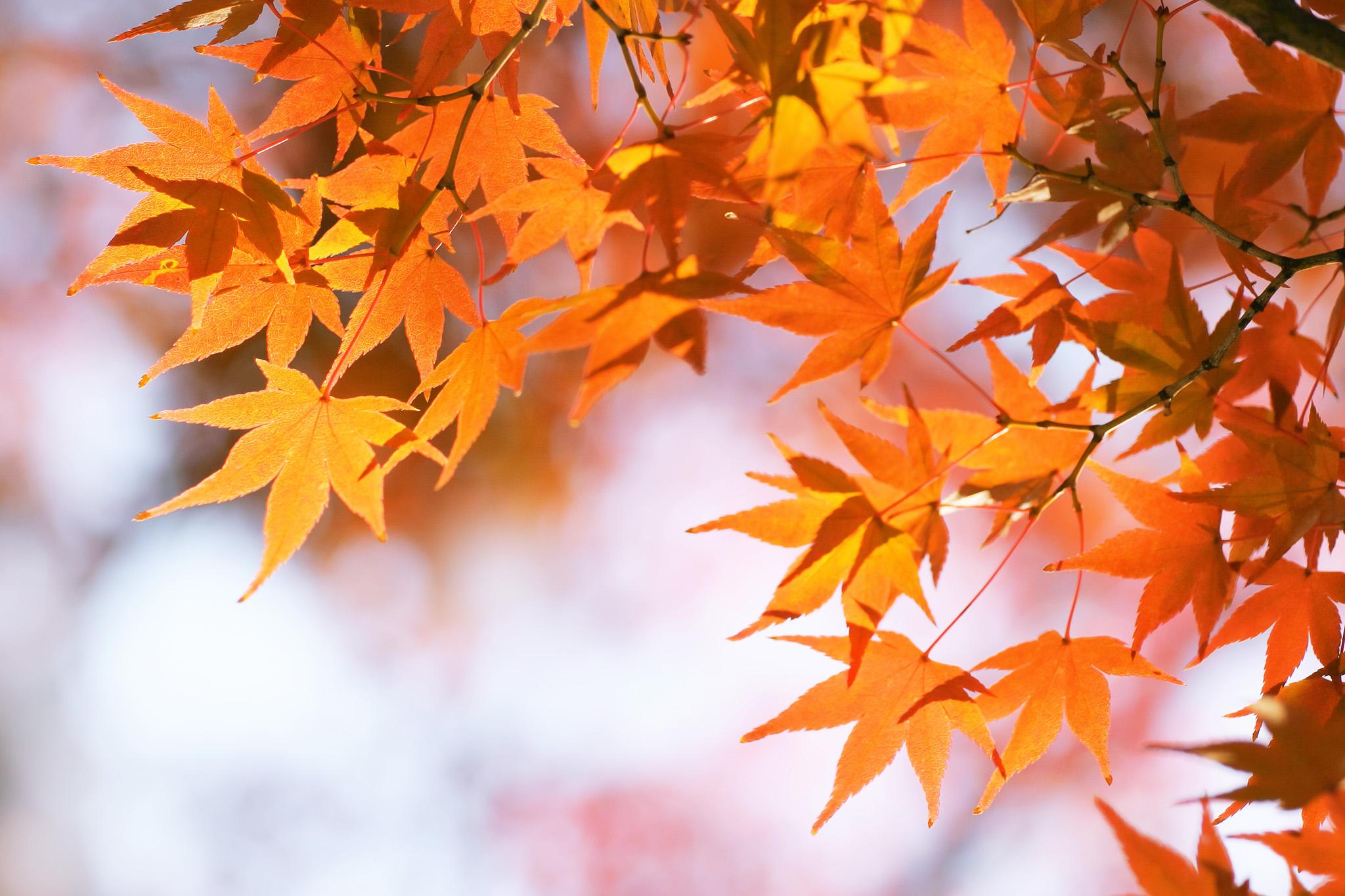 「段々と秋色に染まるモミジの葉」