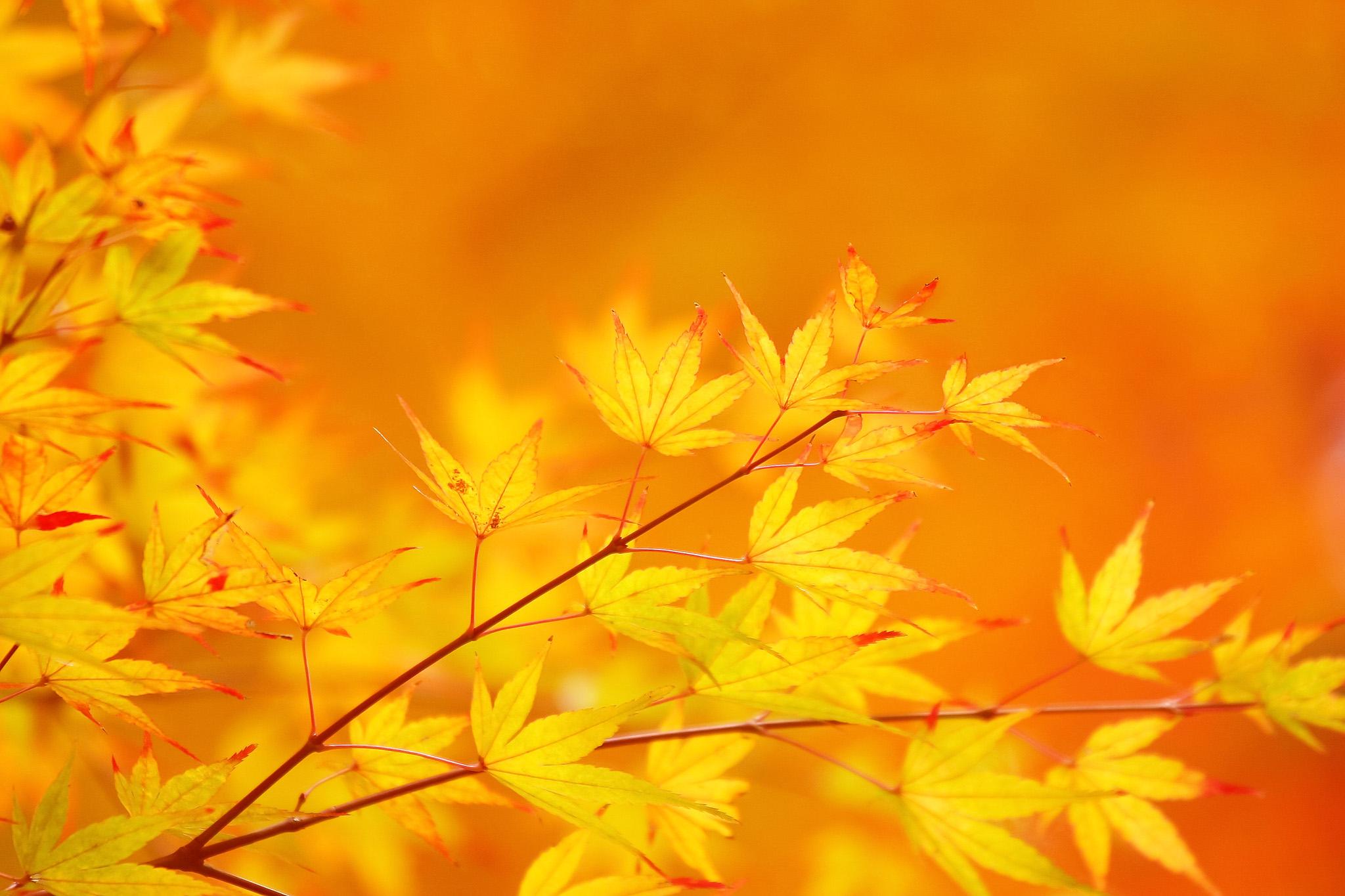 「葉先が赤く染まり始めた黄葉」