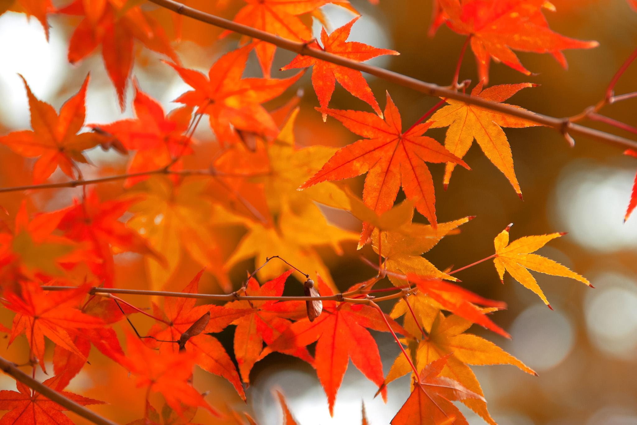 「秋を感じる朱色と橙色のモミジ」