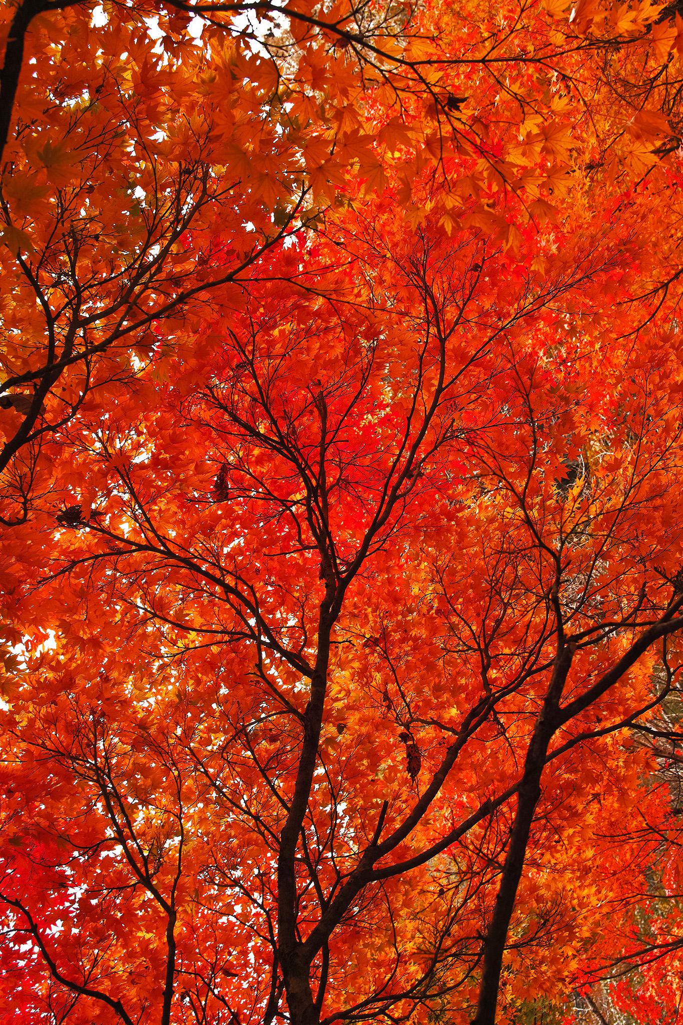 「真赤な紅葉の背景」の画像を無料ダウンロード