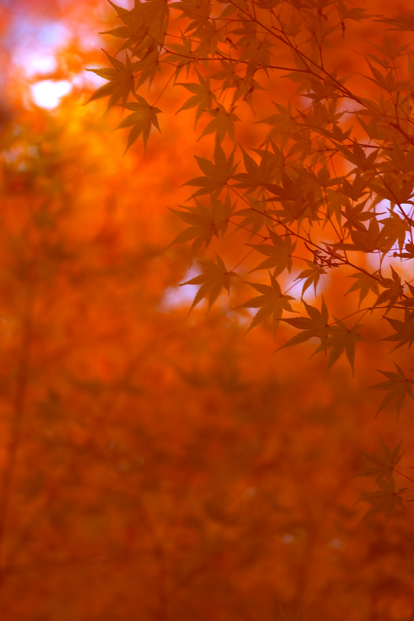 「和風の美しい紅葉背景」の画像を無料ダウンロード
