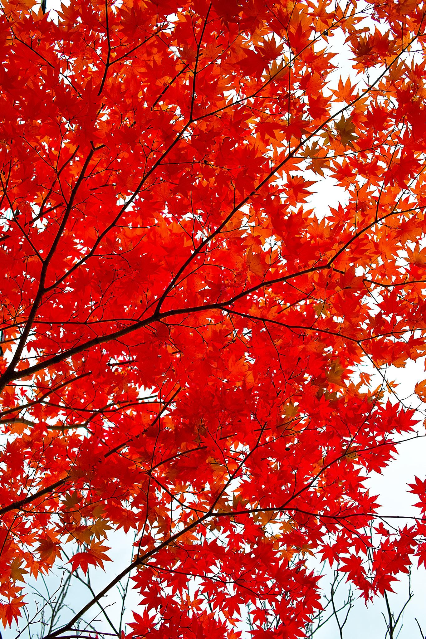 「白い空の背景と紅の紅葉」
