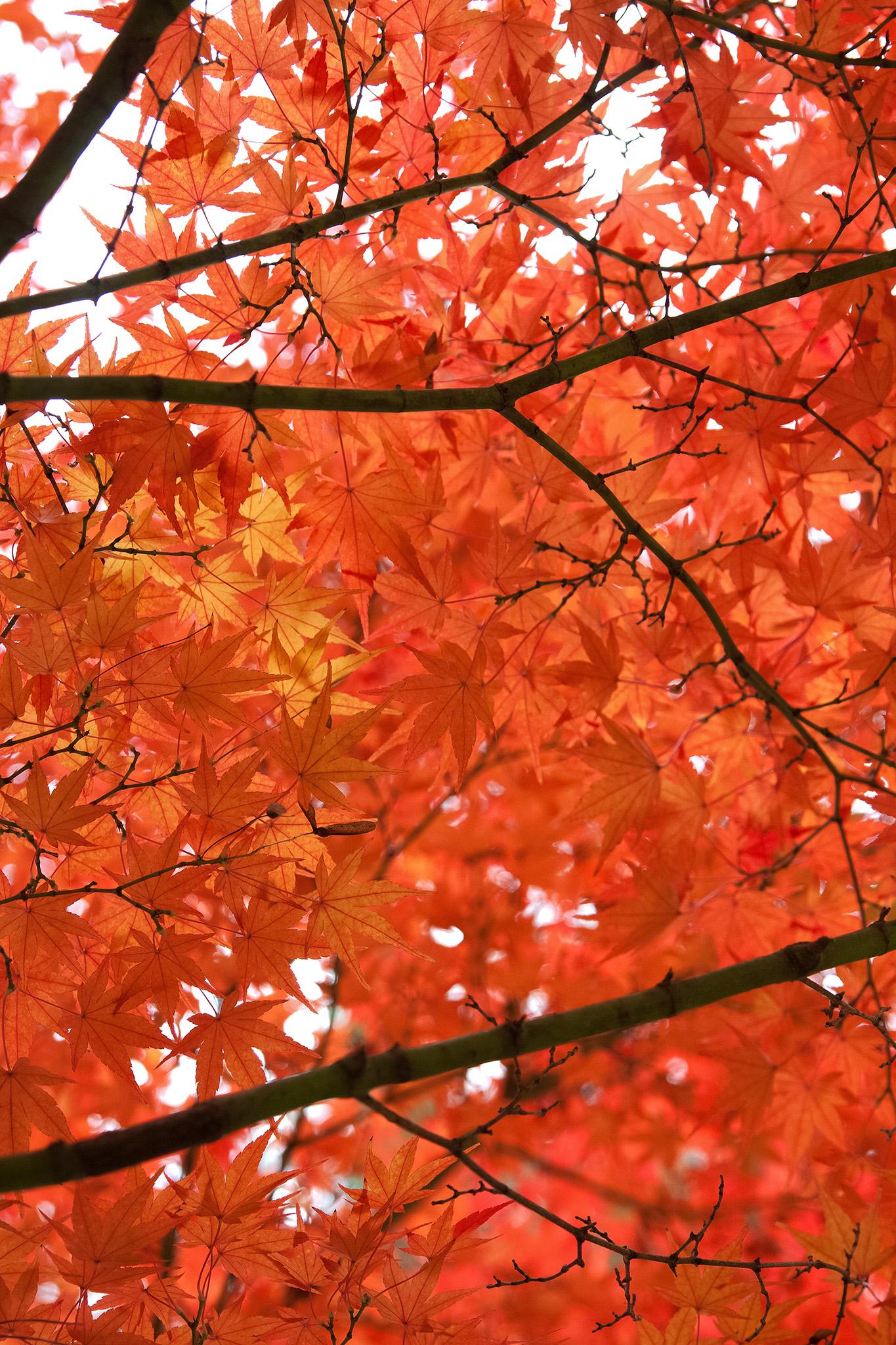 「華やかな赤橙色の紅葉」