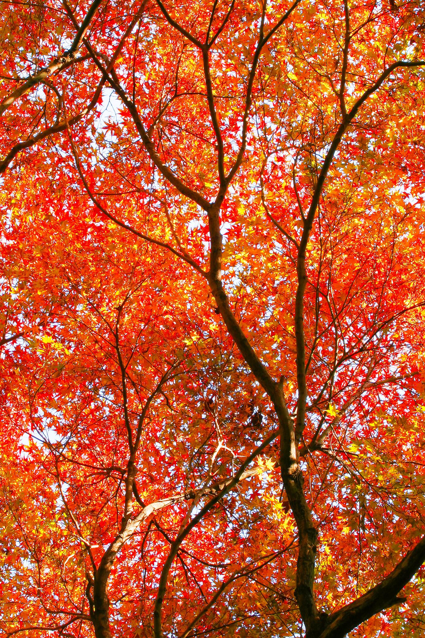 「無数の赤い紅葉の葉」