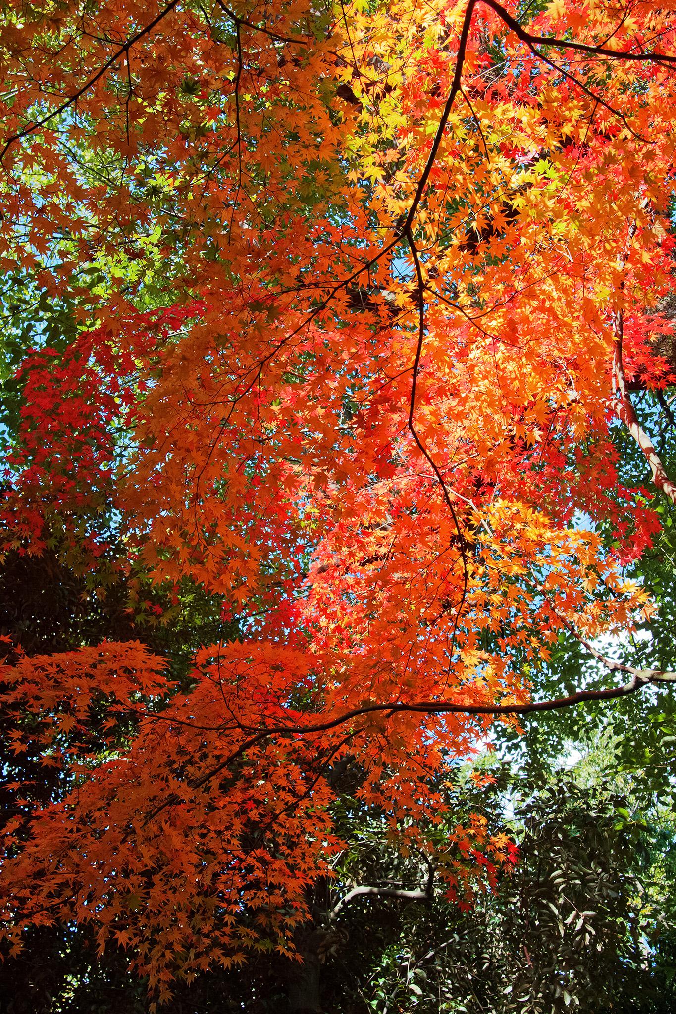 「緑の背景に紅葉が垂さがる」