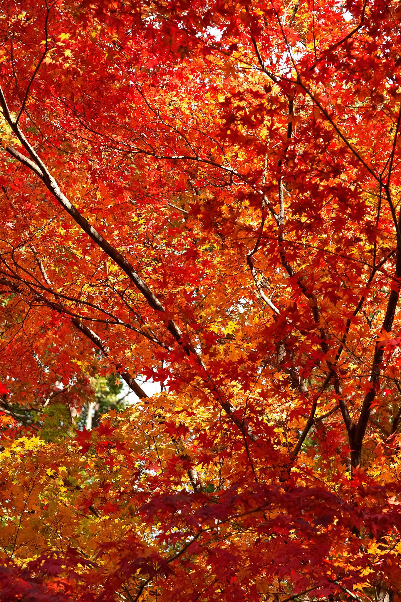 「秋の光に輝く紅葉の木」