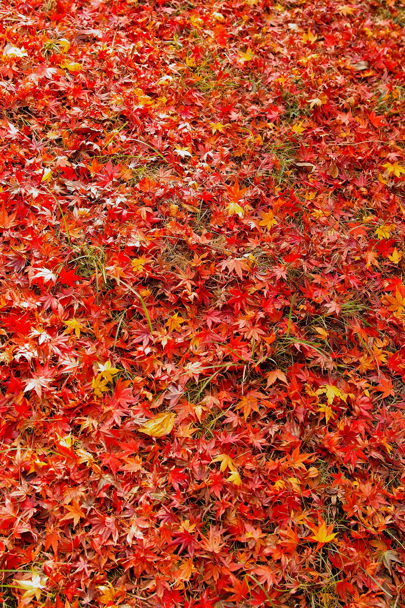 「地面一杯の落葉した紅葉」