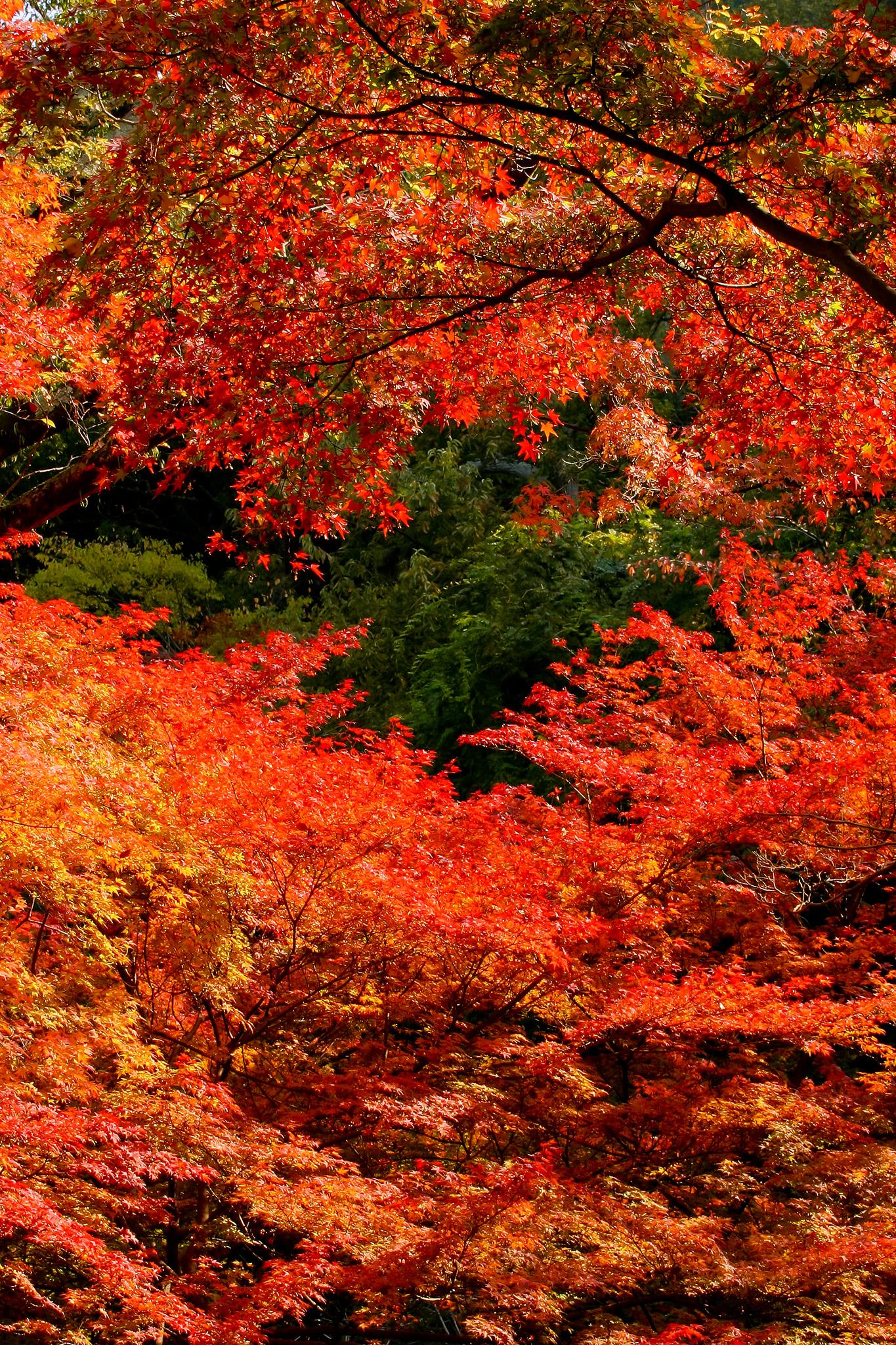 「燃えるような錦秋の森」