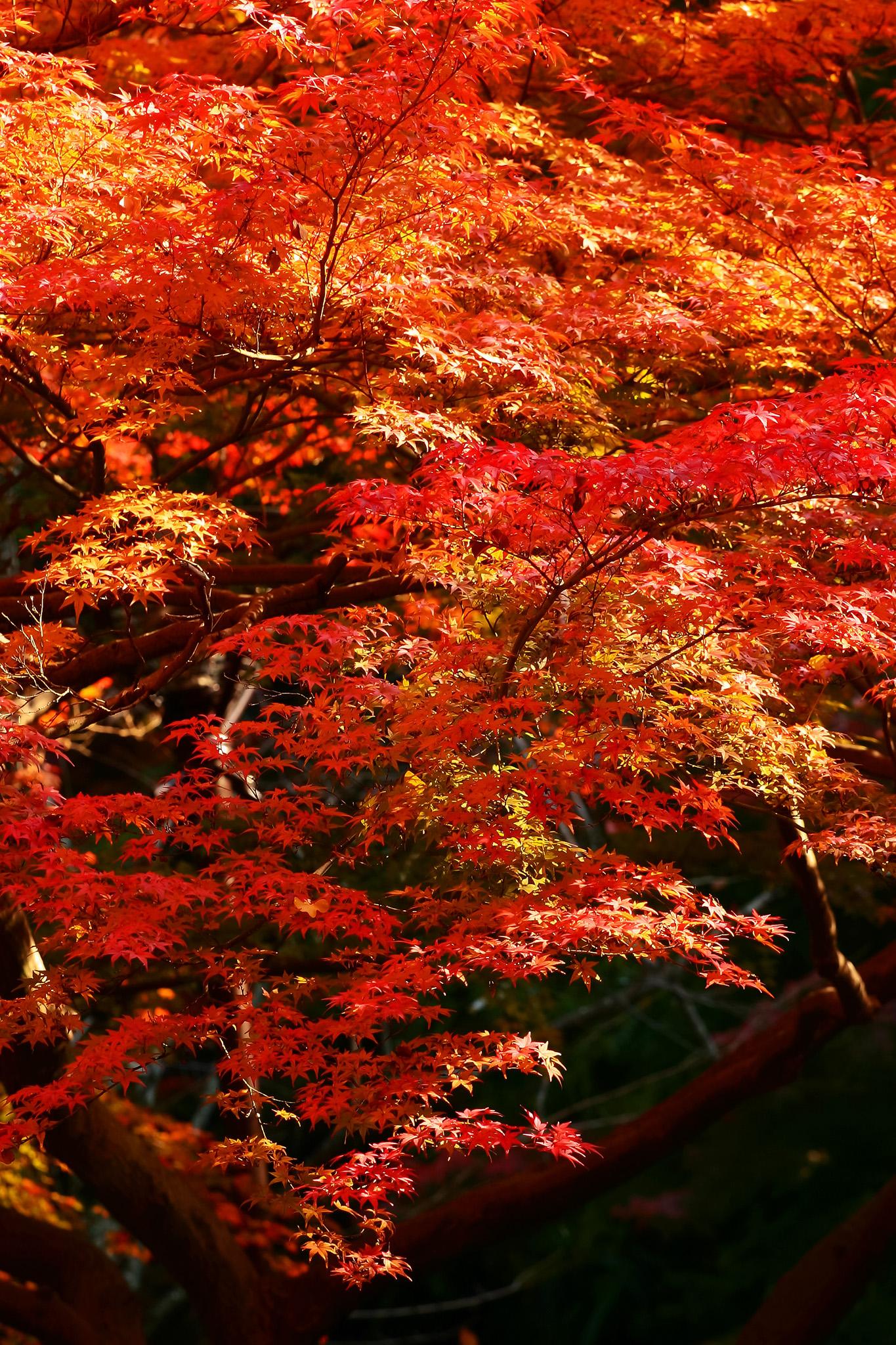 「黒背景に紅葉の和風イメージ」
