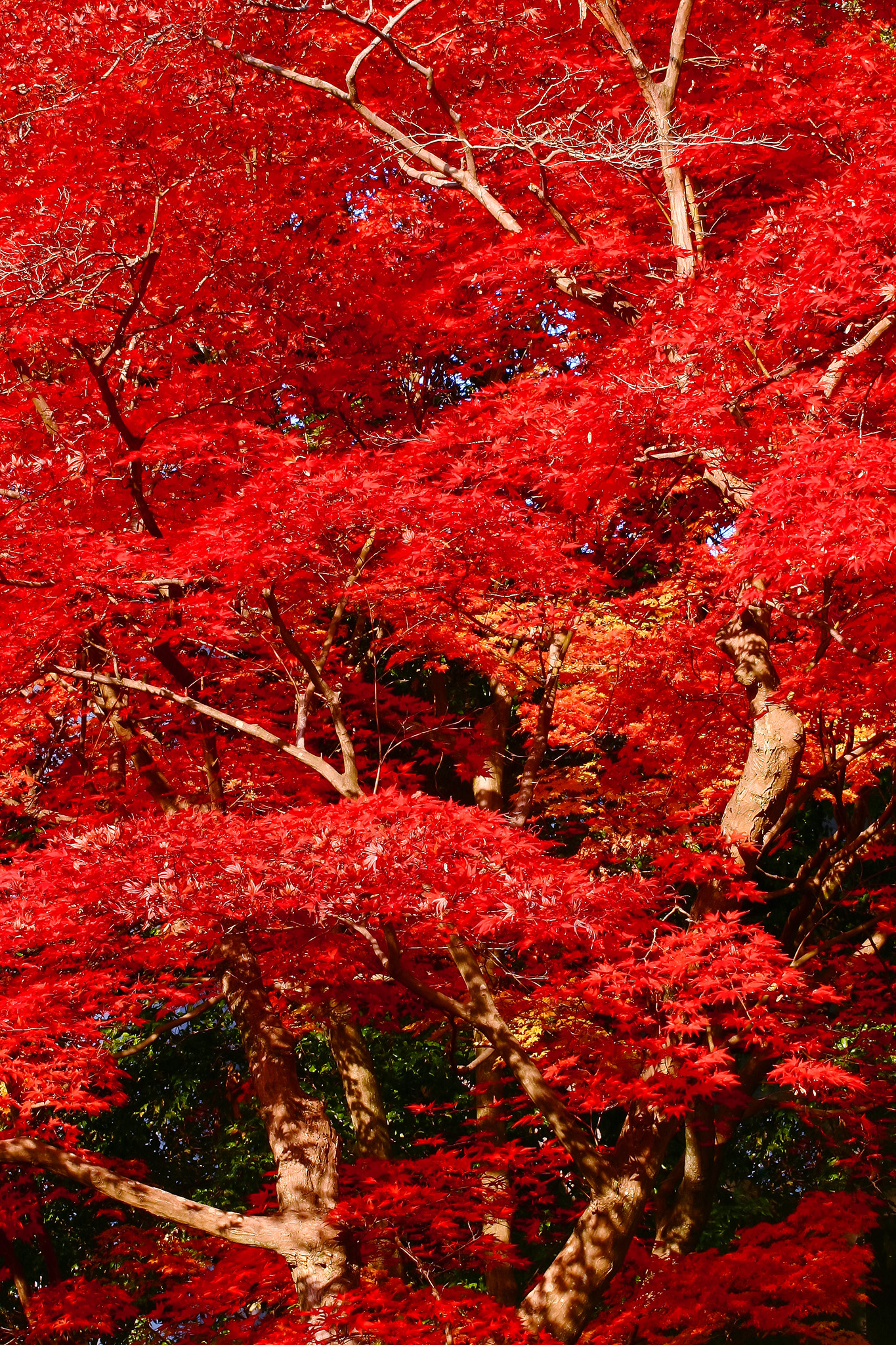 「深紅に染まり紅葉する木」