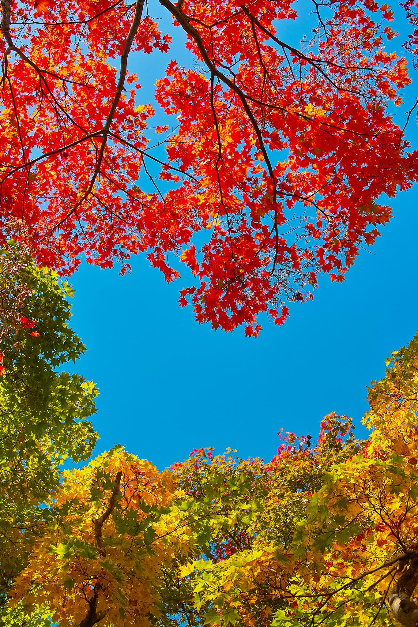 「空と赤黄緑のモミジの葉」
