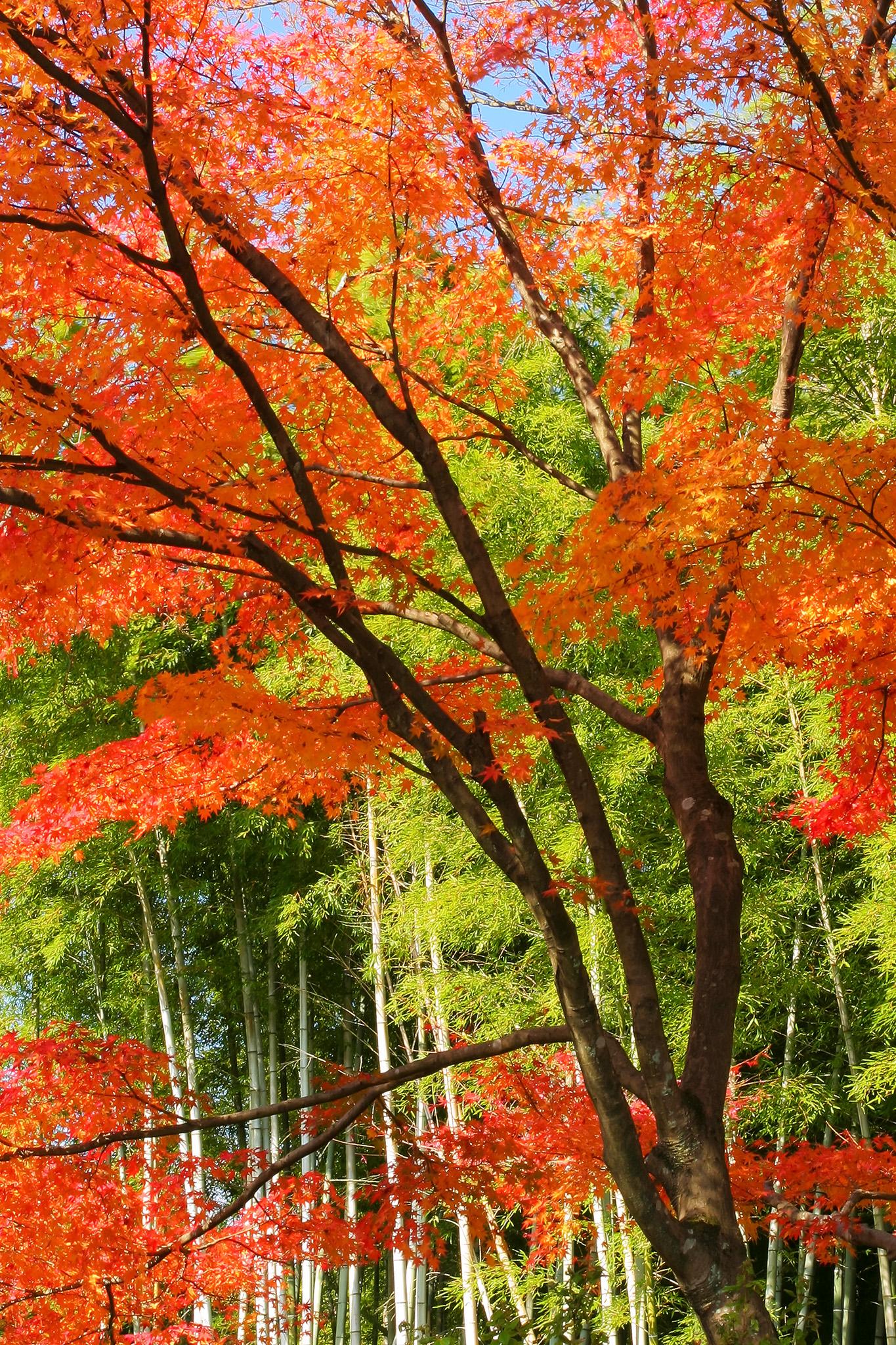 「紅葉と竹林の和風風景」の画像を無料ダウンロード