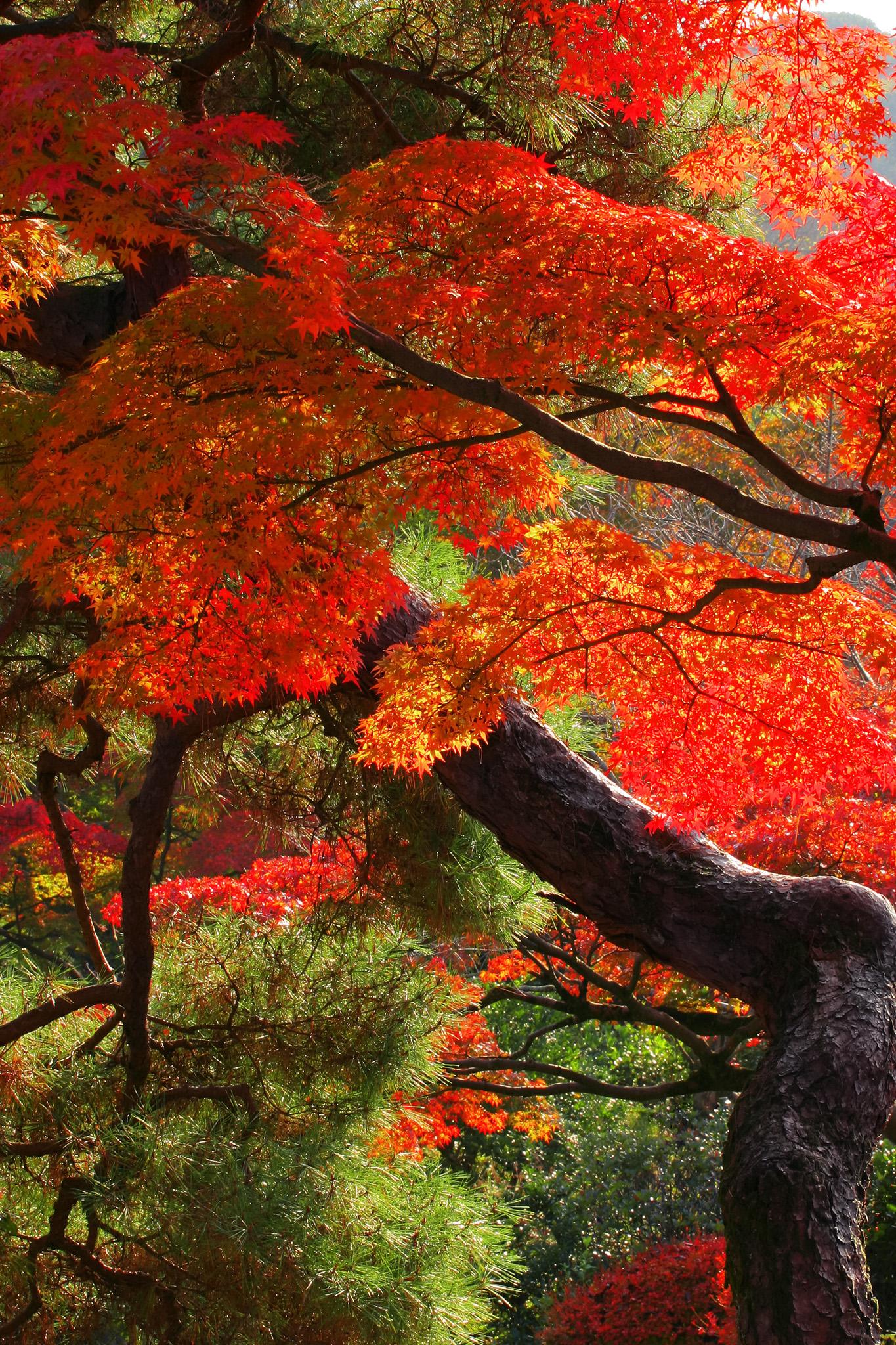 「紅葉と松の日本の秋」
