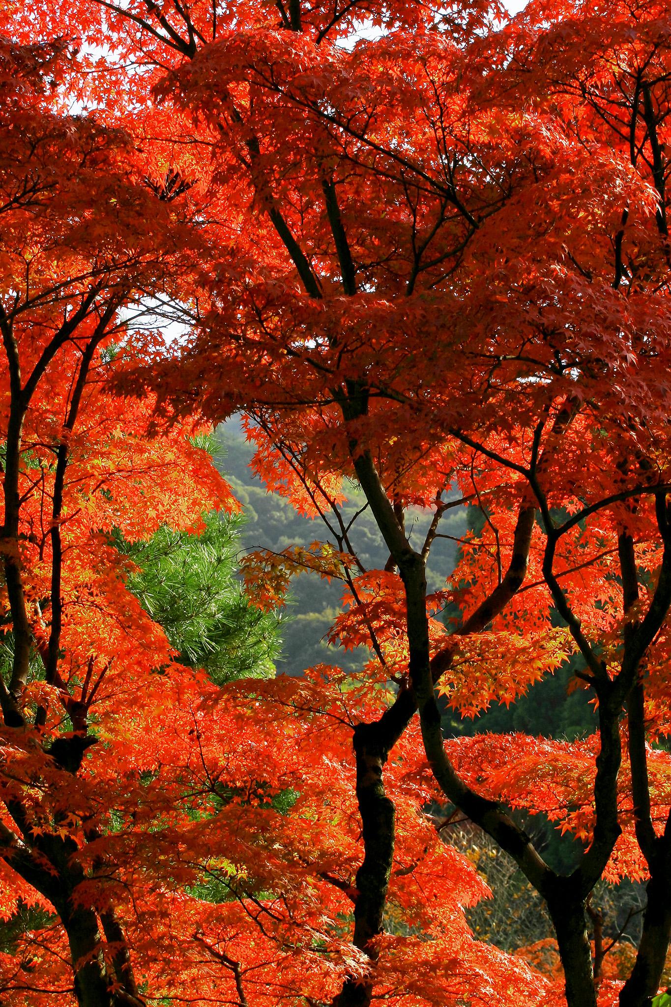 「もみじ染まる秋の山」
