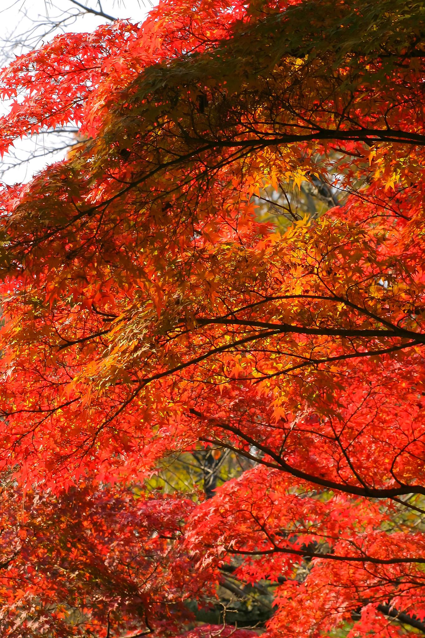 「紅葉を沢山付けたもみじの木」の画像を無料ダウンロード