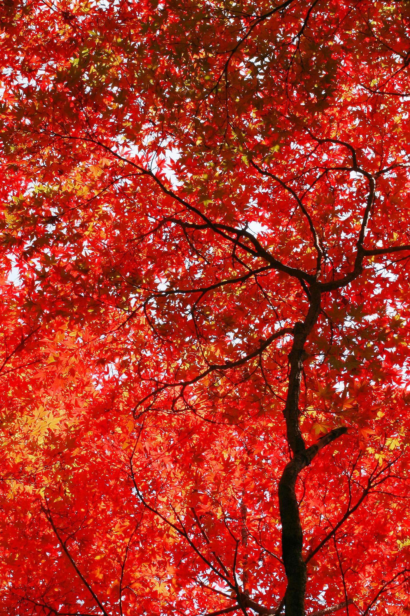 「赤く染まる無数のもみじの葉」