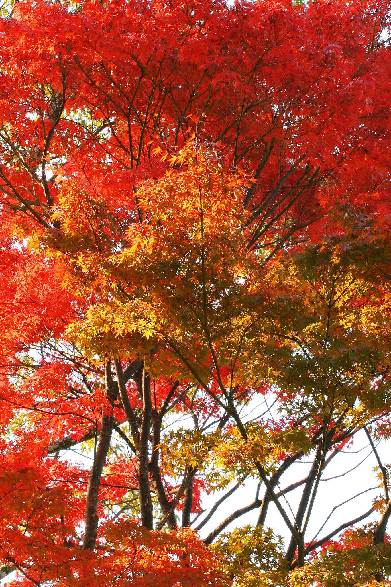 「白背景に映える紅葉と黄葉」
