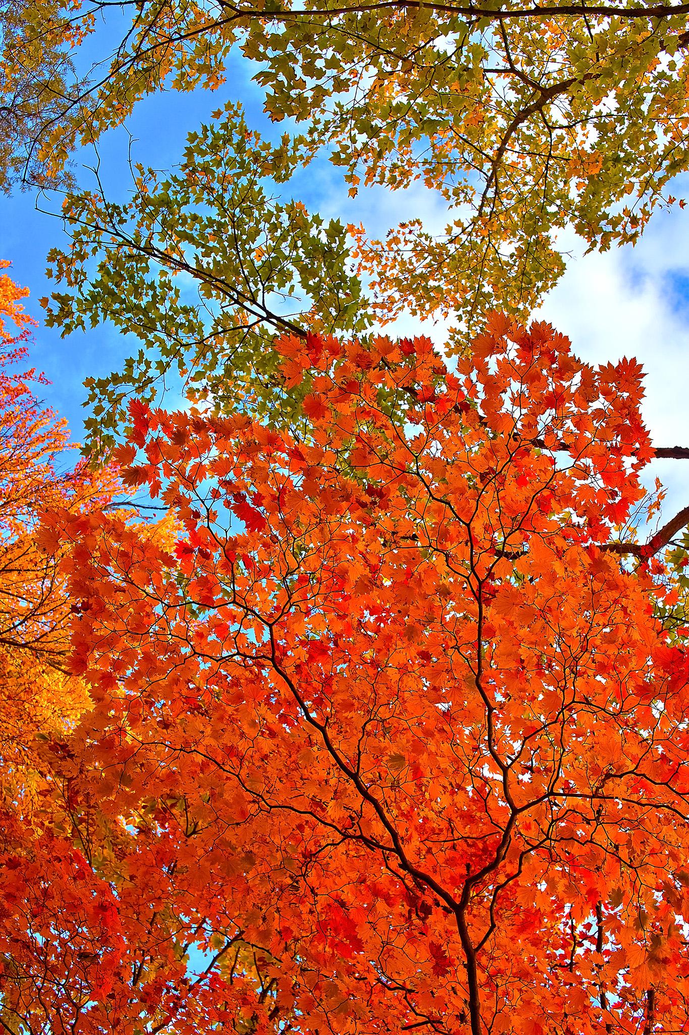 「青空に伸びる赤い楓の葉」