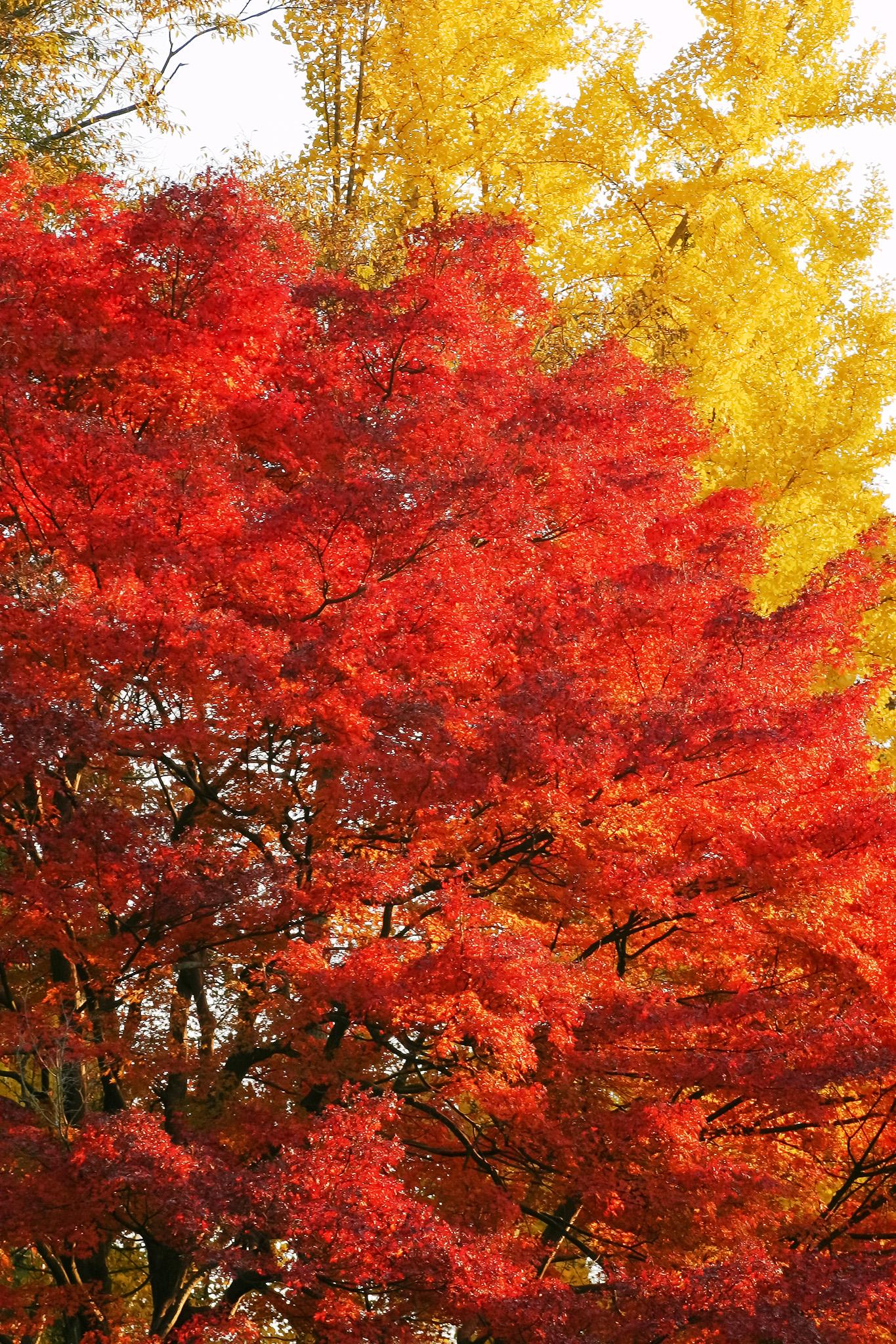 「赤い紅葉と黄色い銀杏の葉」