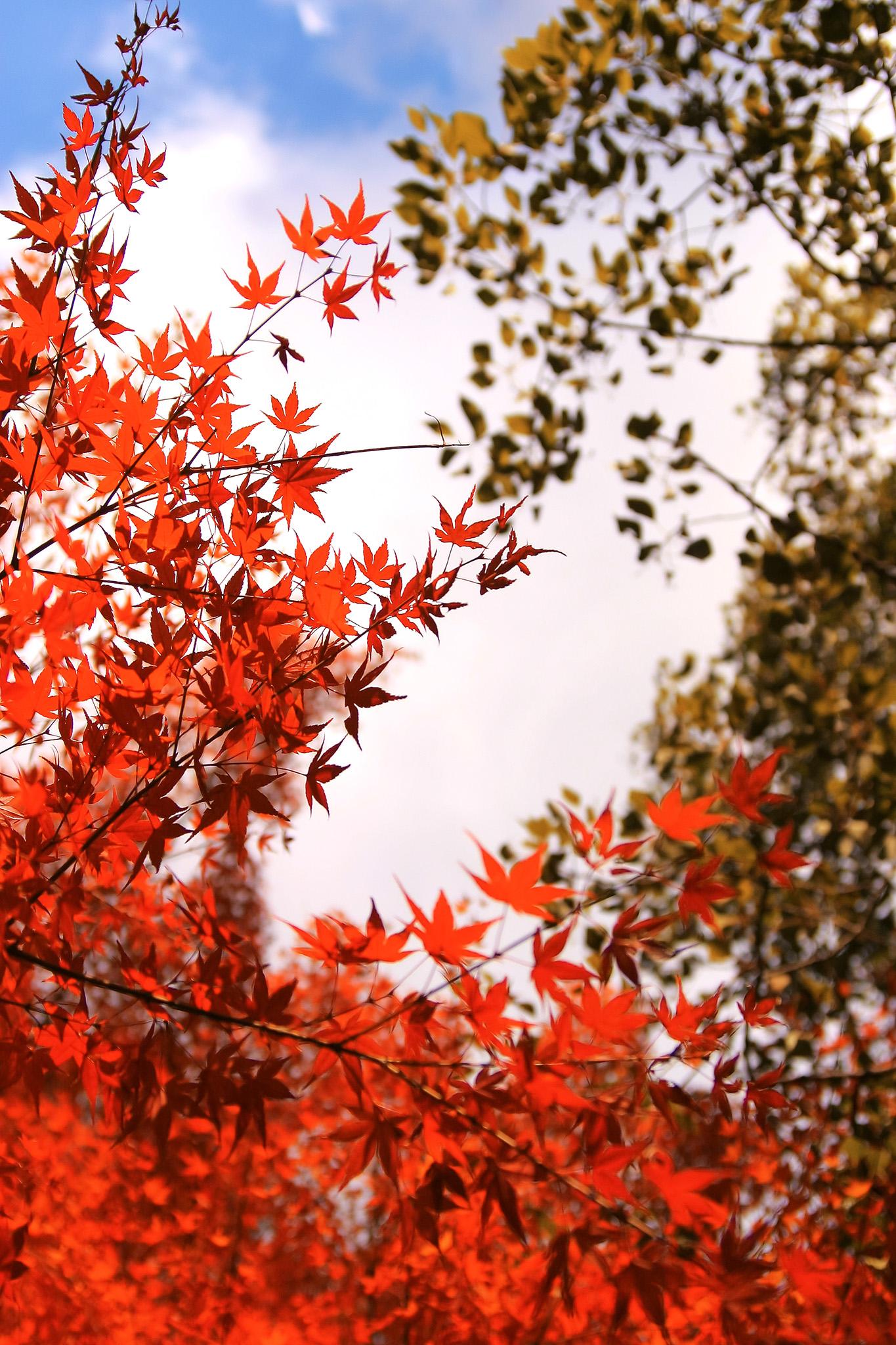 「空と朱色のもみじの葉」