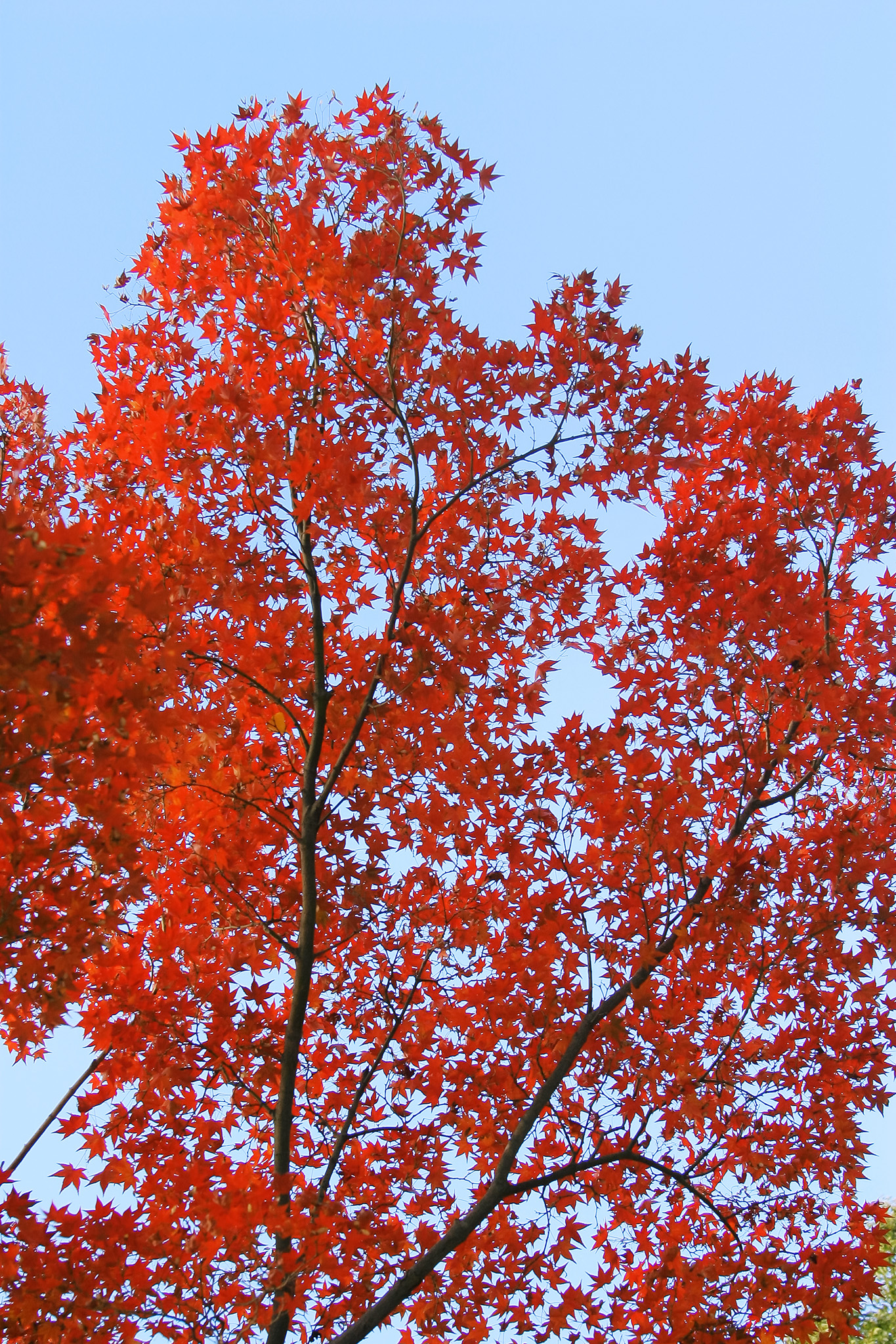 「紅葉する木と水色の空」