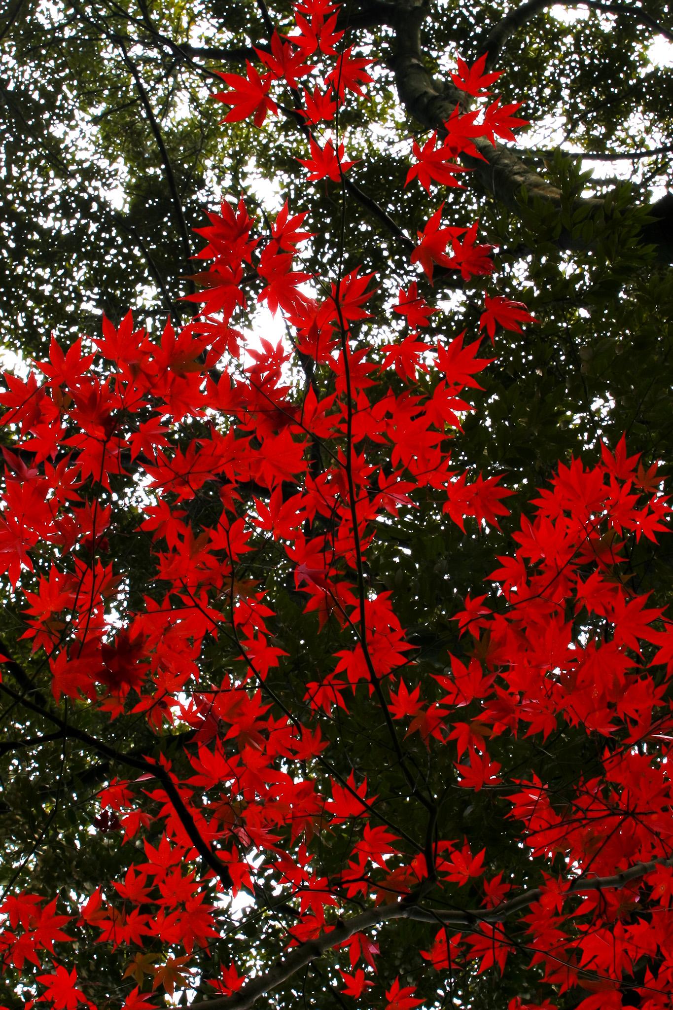 「濃緑に赤く鮮やかな葉」