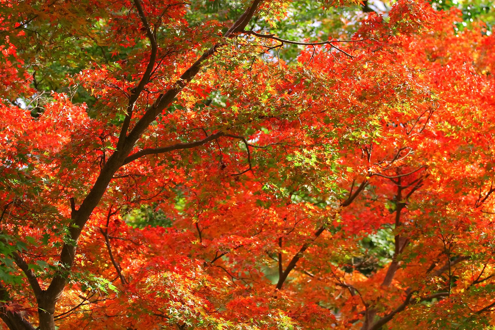 「紅葉の葉」