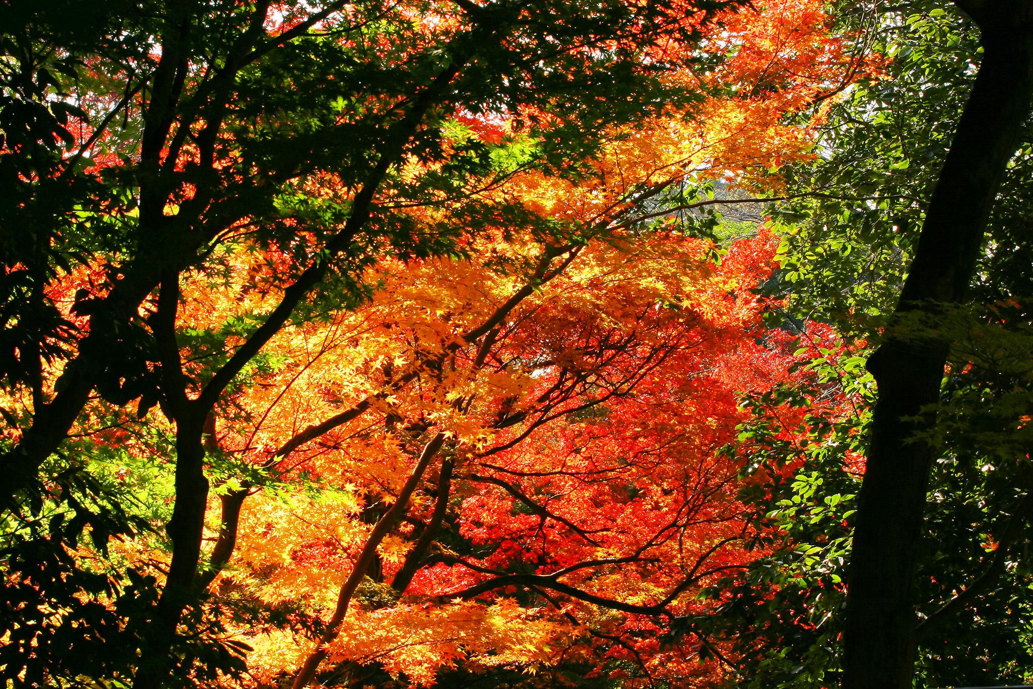 「綺麗な紅葉」のテクスチャを無料ダウンロード