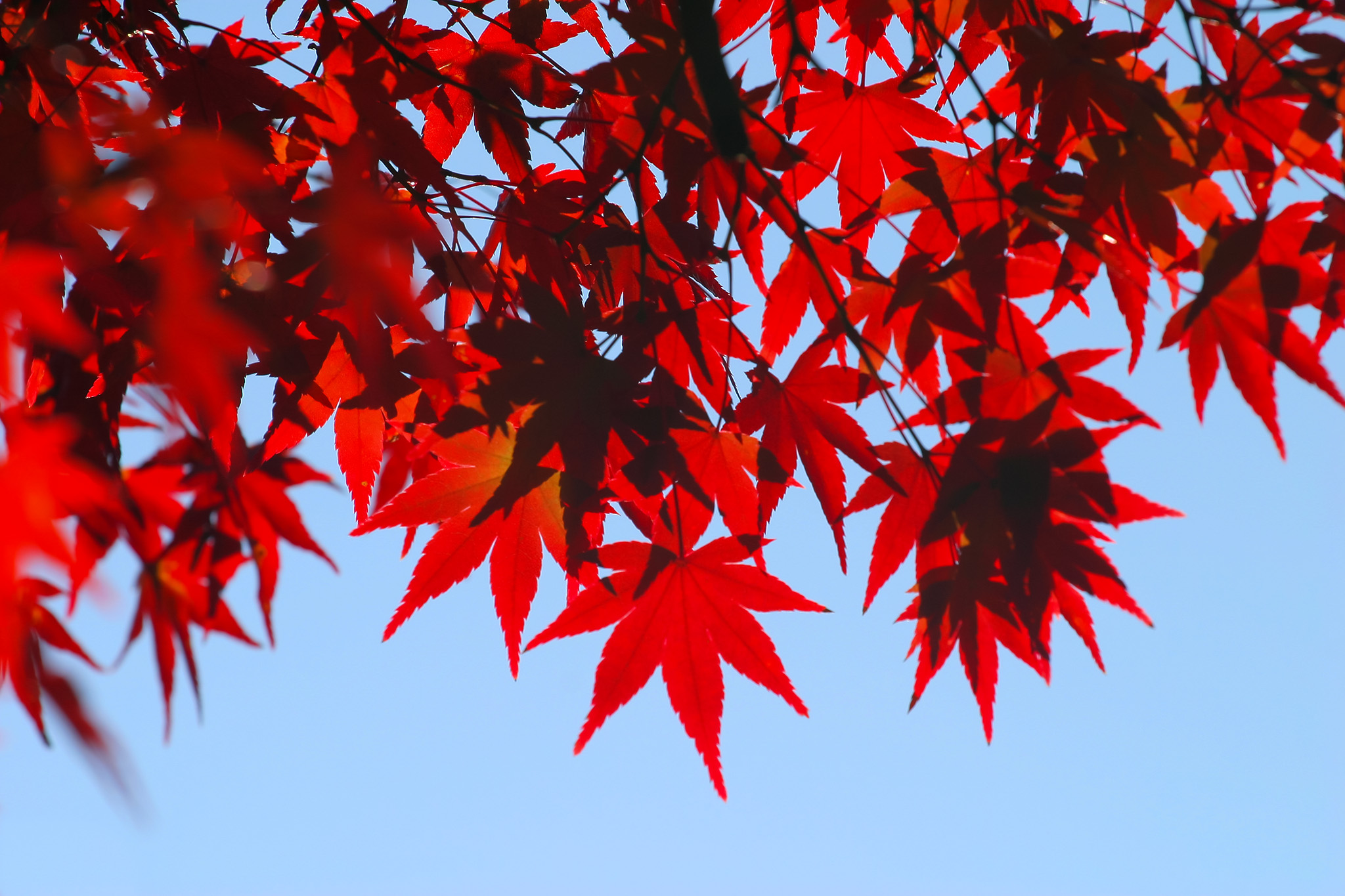 「紅葉の木」