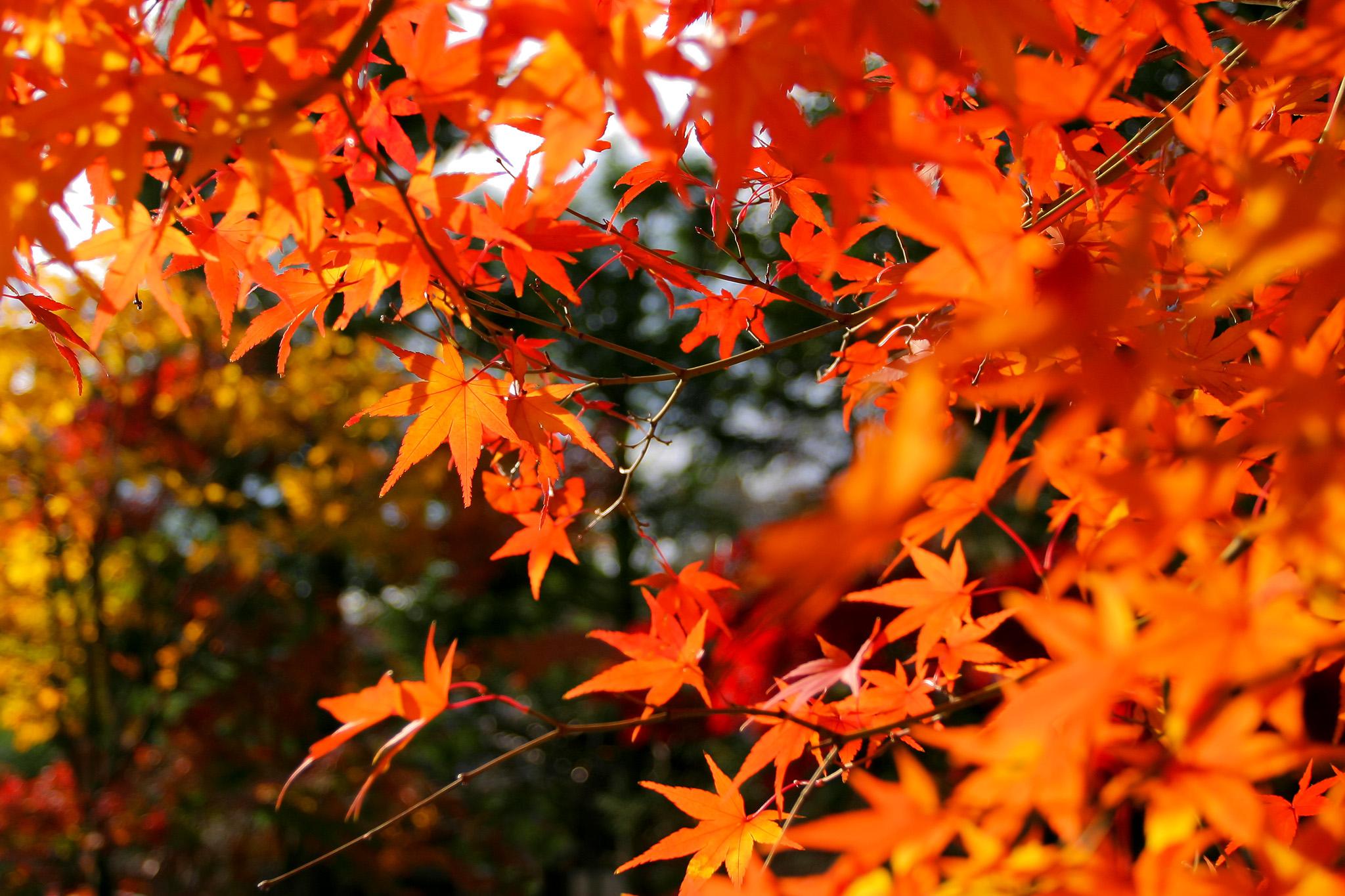 「秋のモミジ」