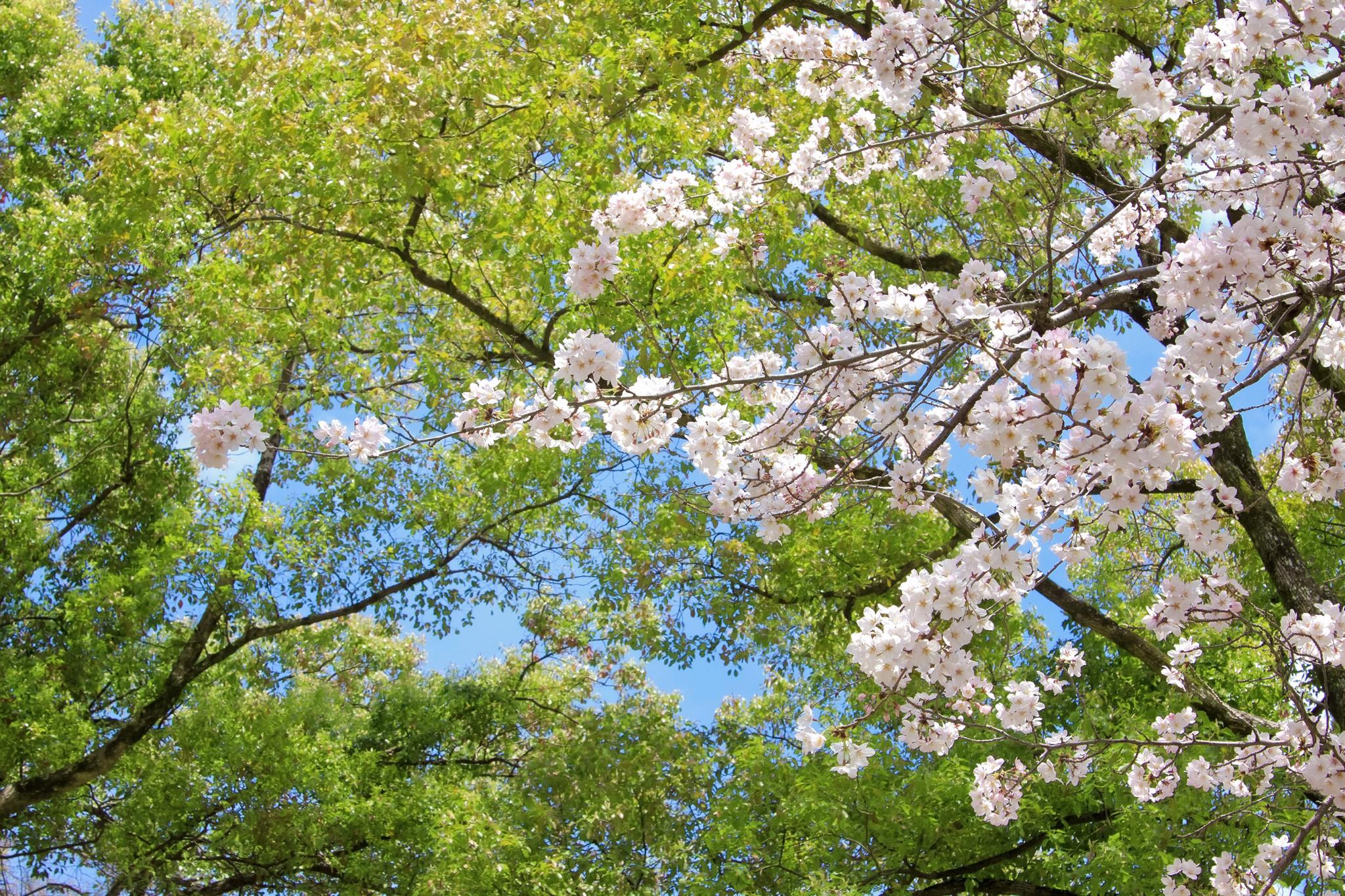 「美しい新緑と桜の春景色」