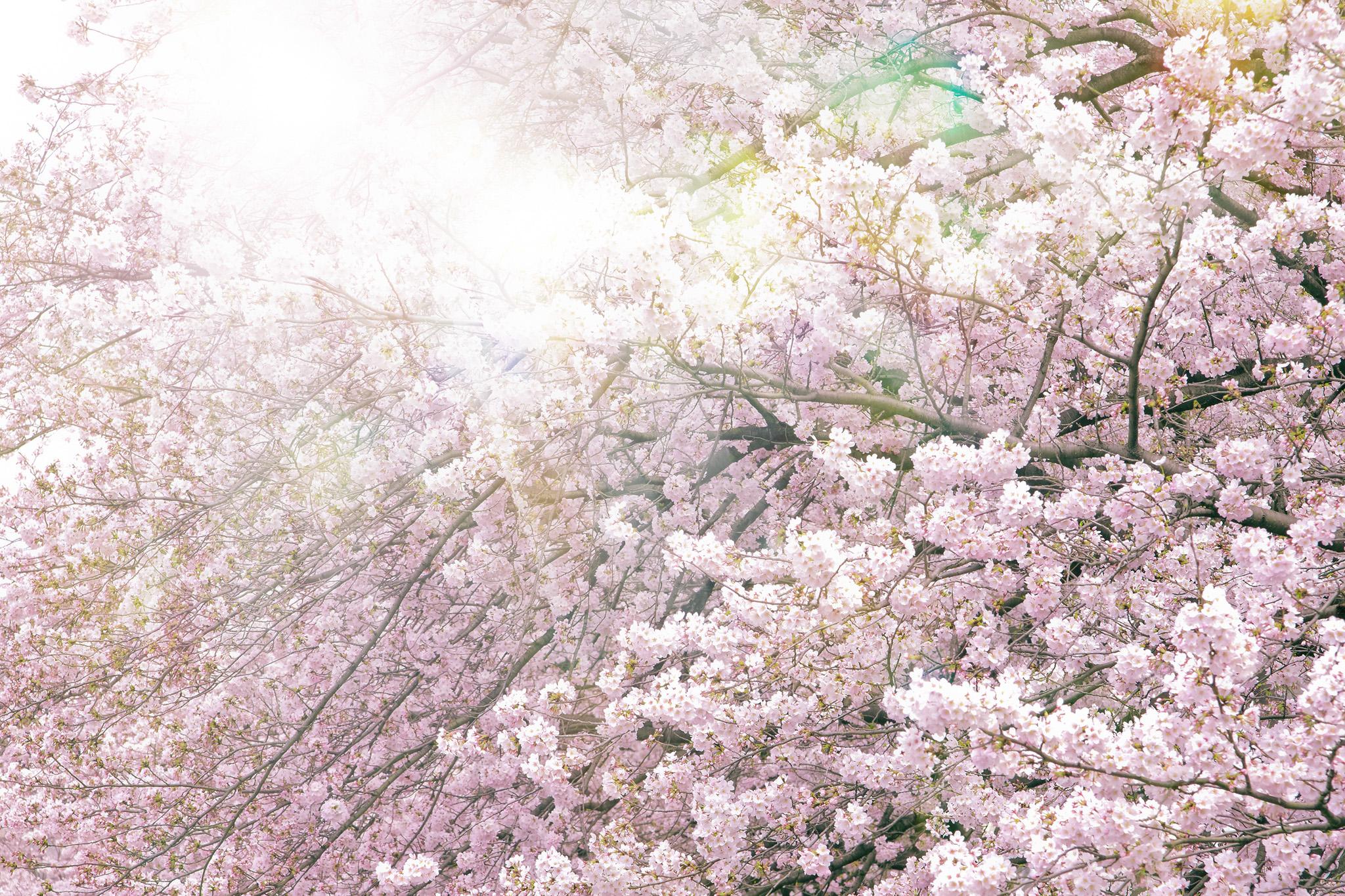 「満開の桜と眩い太陽の光」
