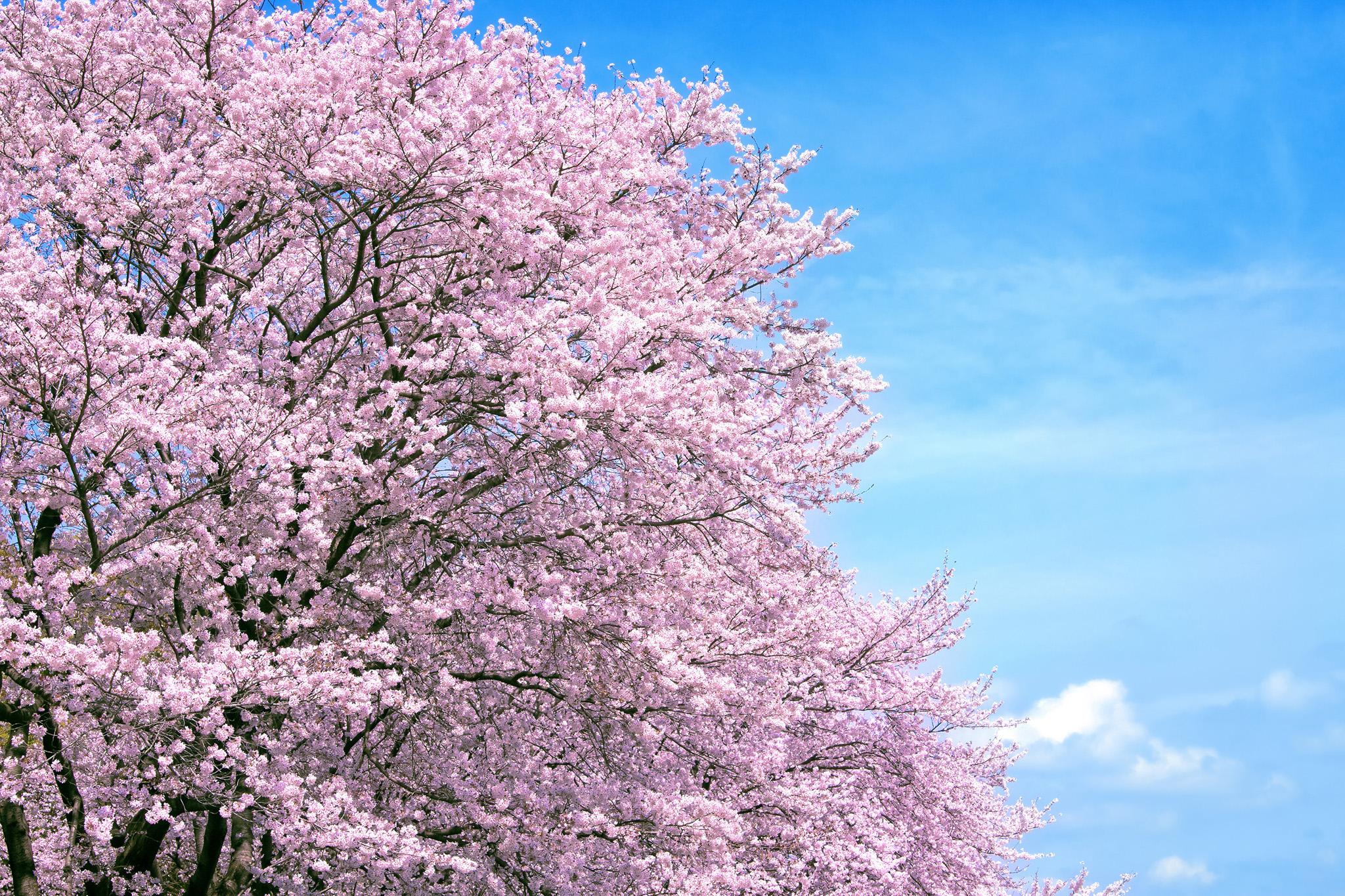 「穏やかな春空と満開の桜並木」