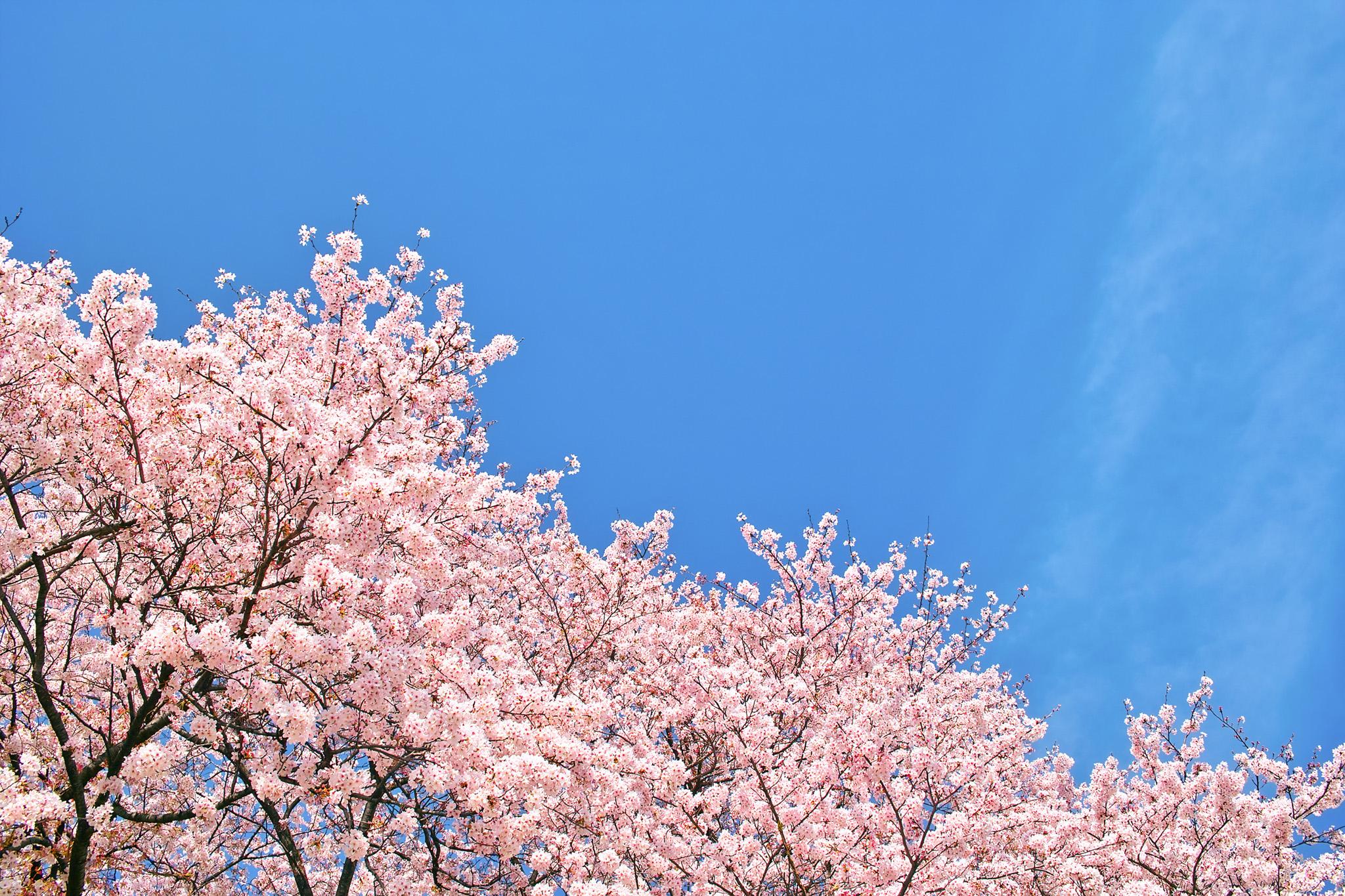 「青空の下の薄紅色の桜並木」
