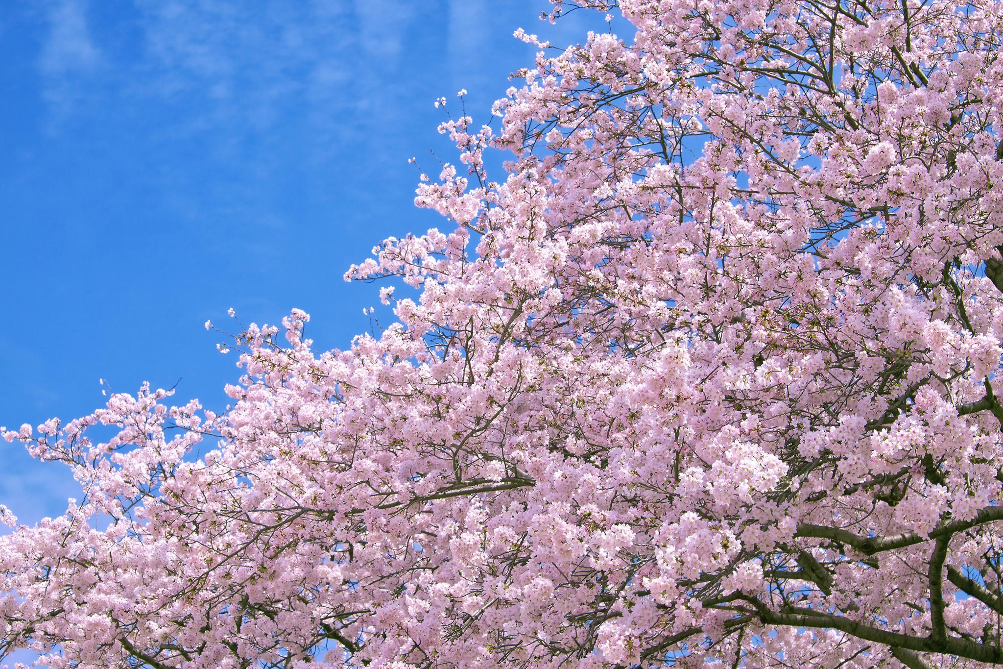 「春空に咲き誇る満開の桜」
