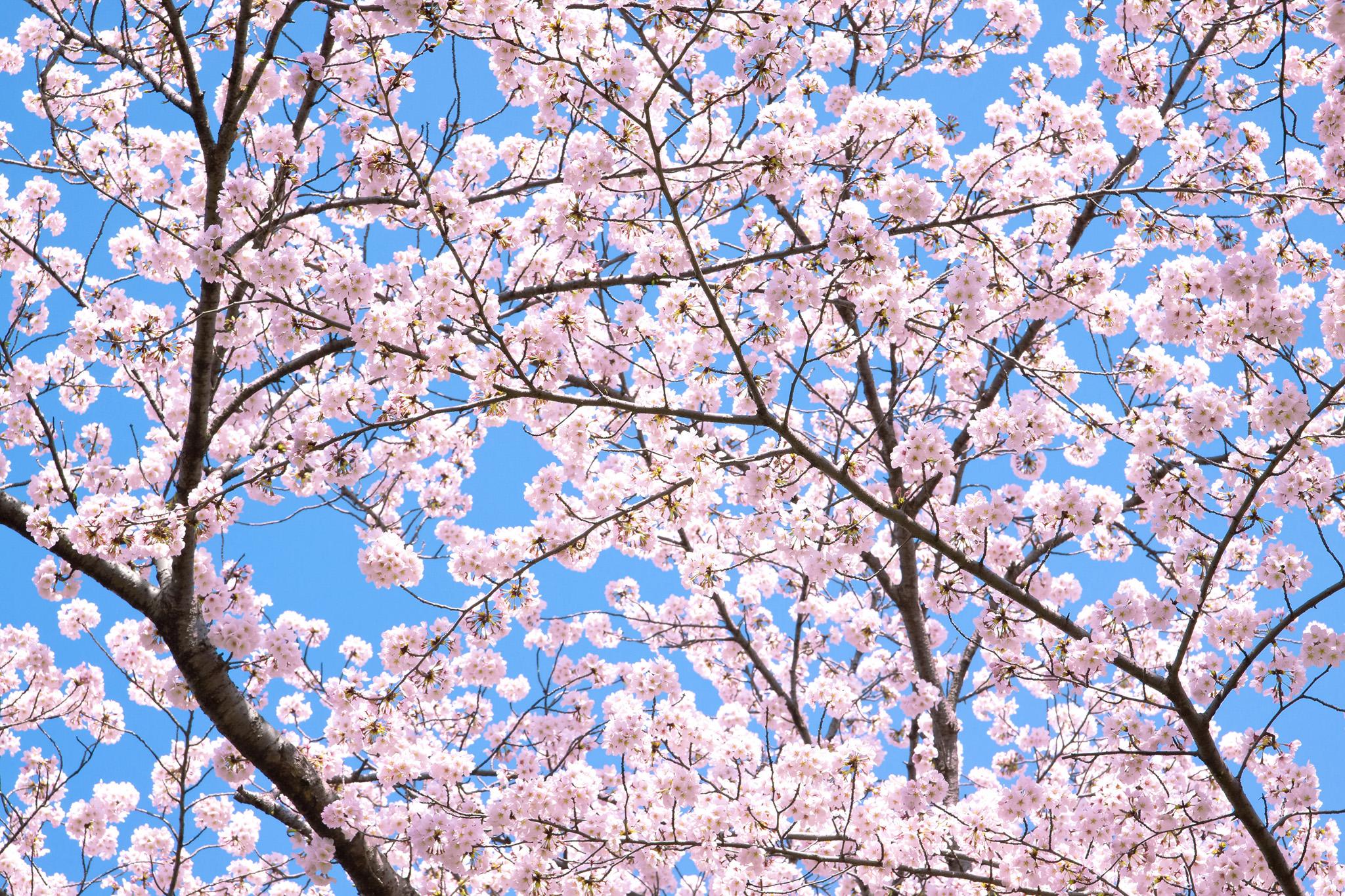 「薄いピンクの花の桜背景」