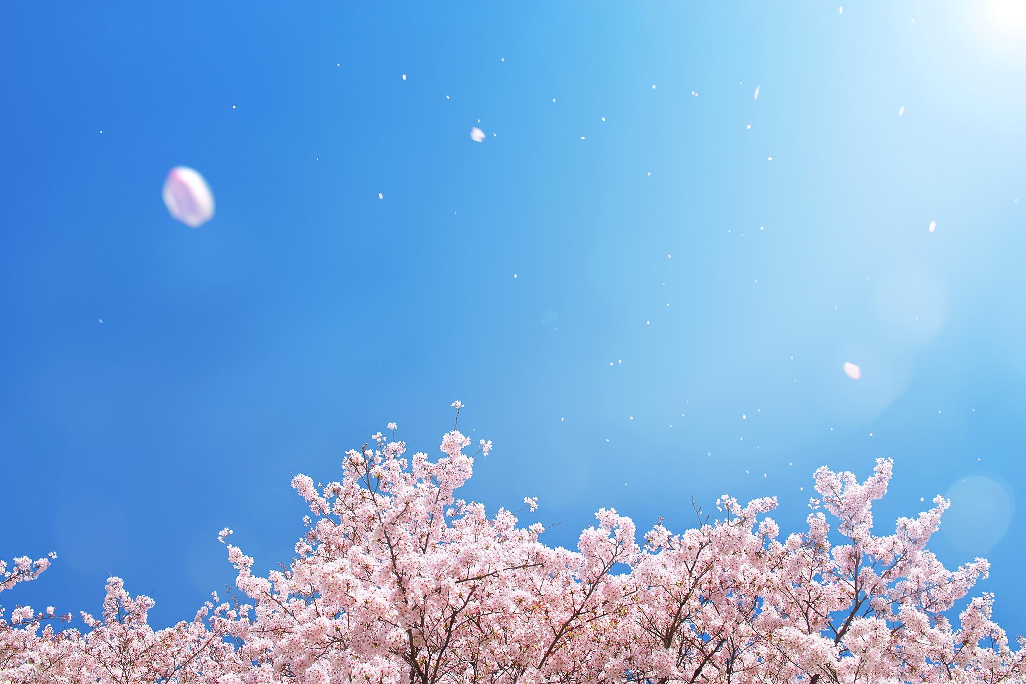 「春の青空に舞い散る桜吹雪」