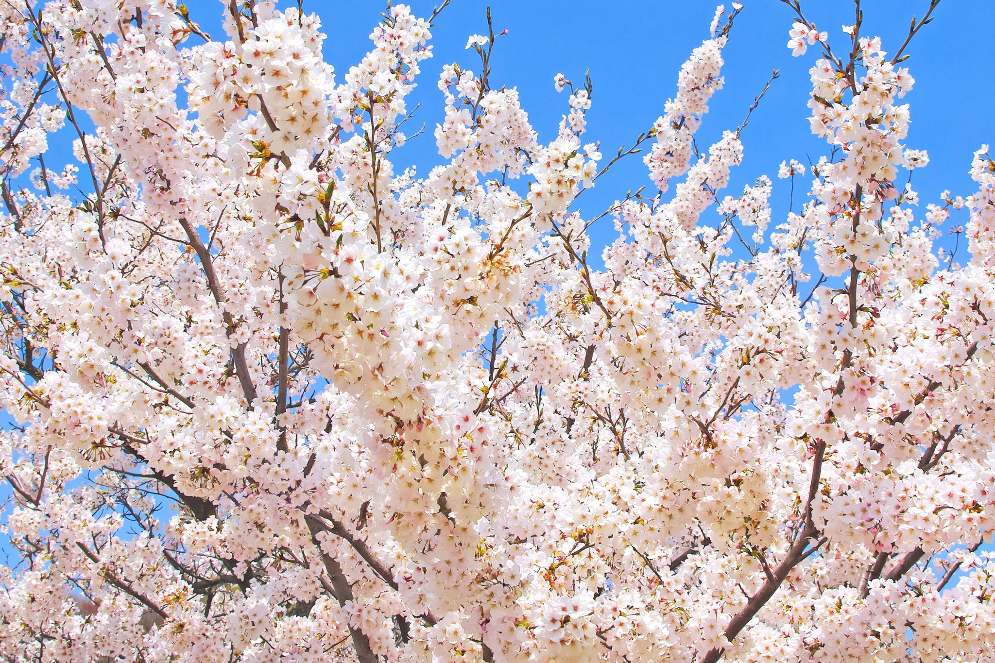 「白い花と蕾のある染井吉野」