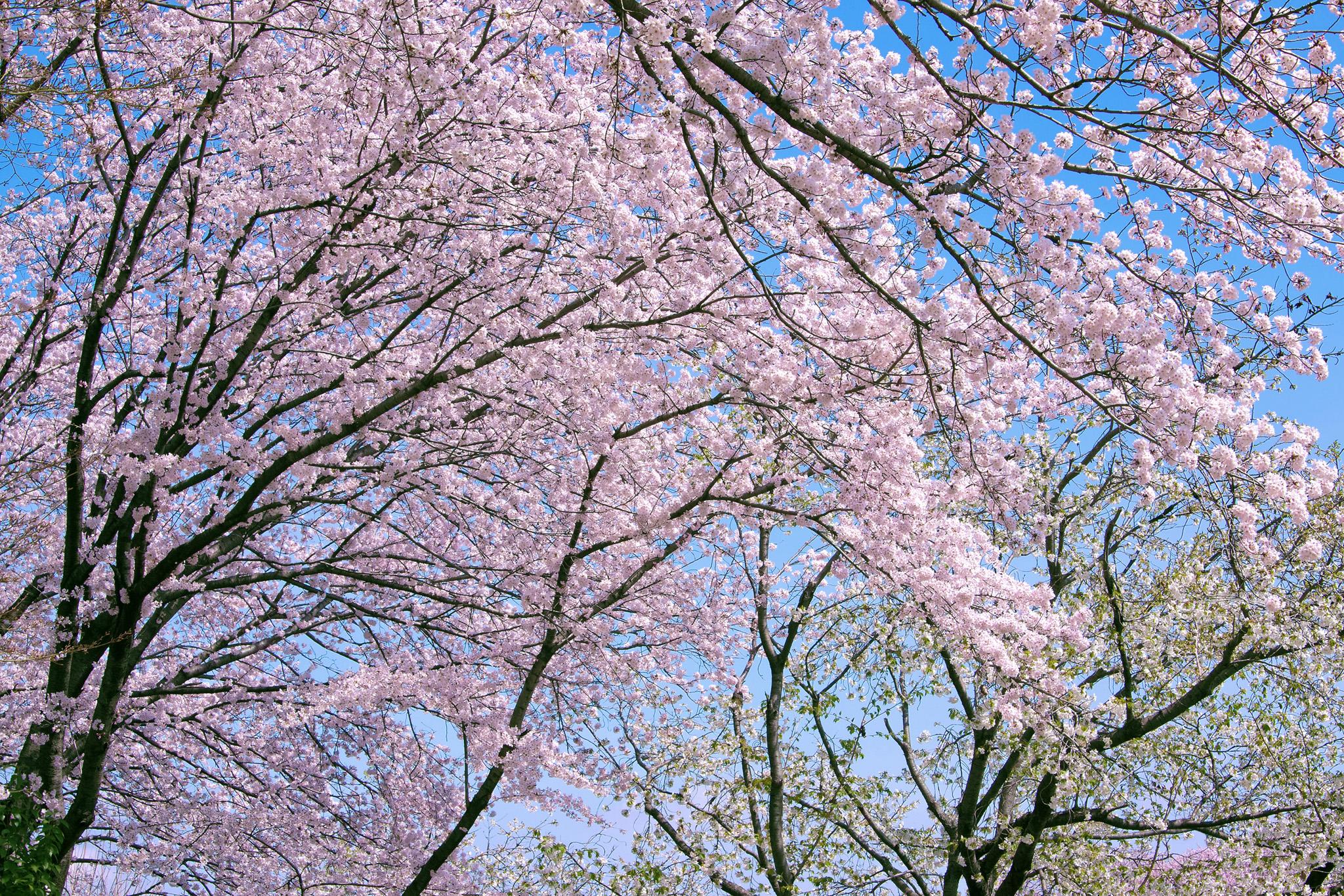 「満開の花を付けて垂れ下がる桜」