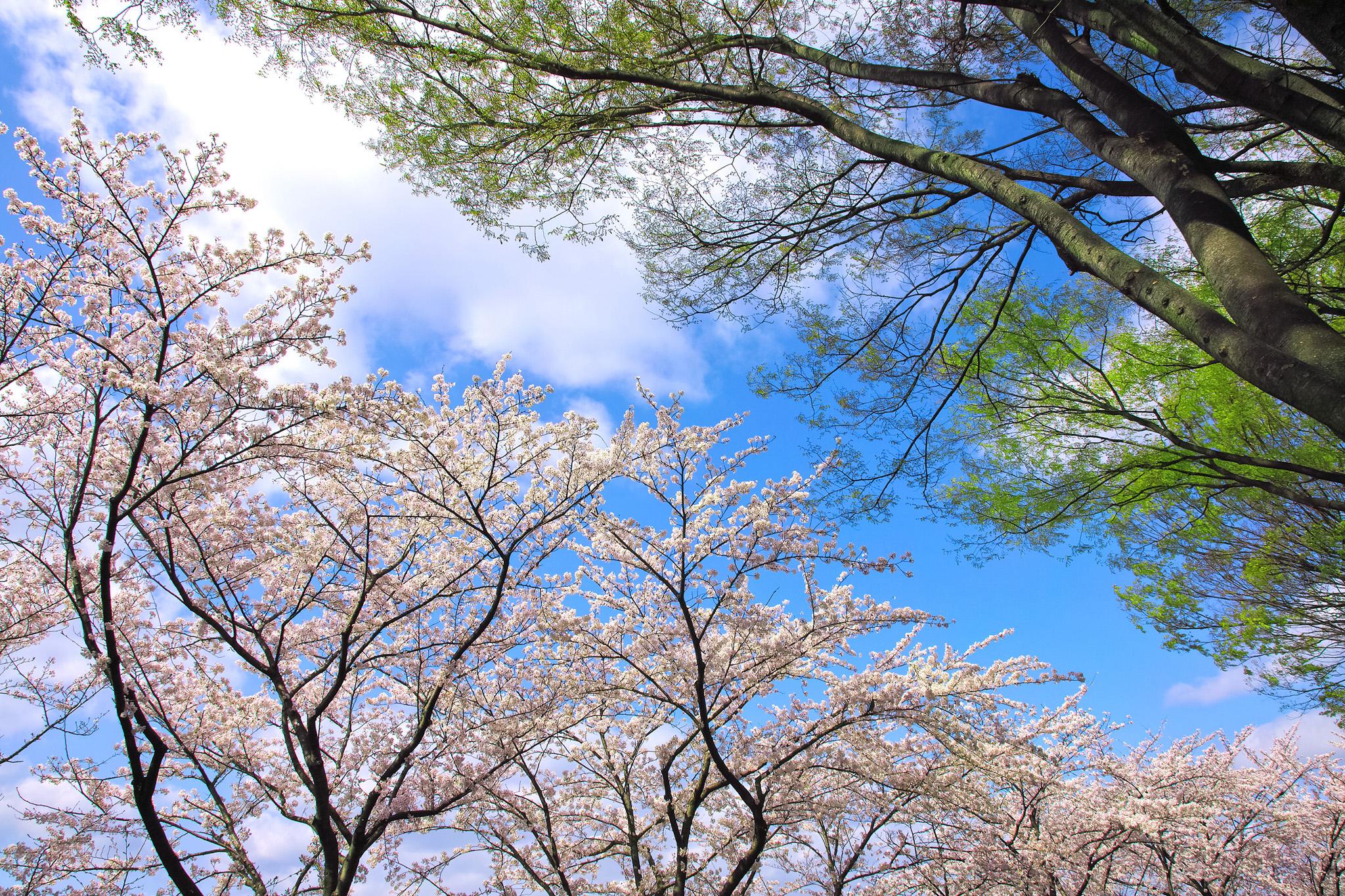 「見上げる桜並木と緑の木々」