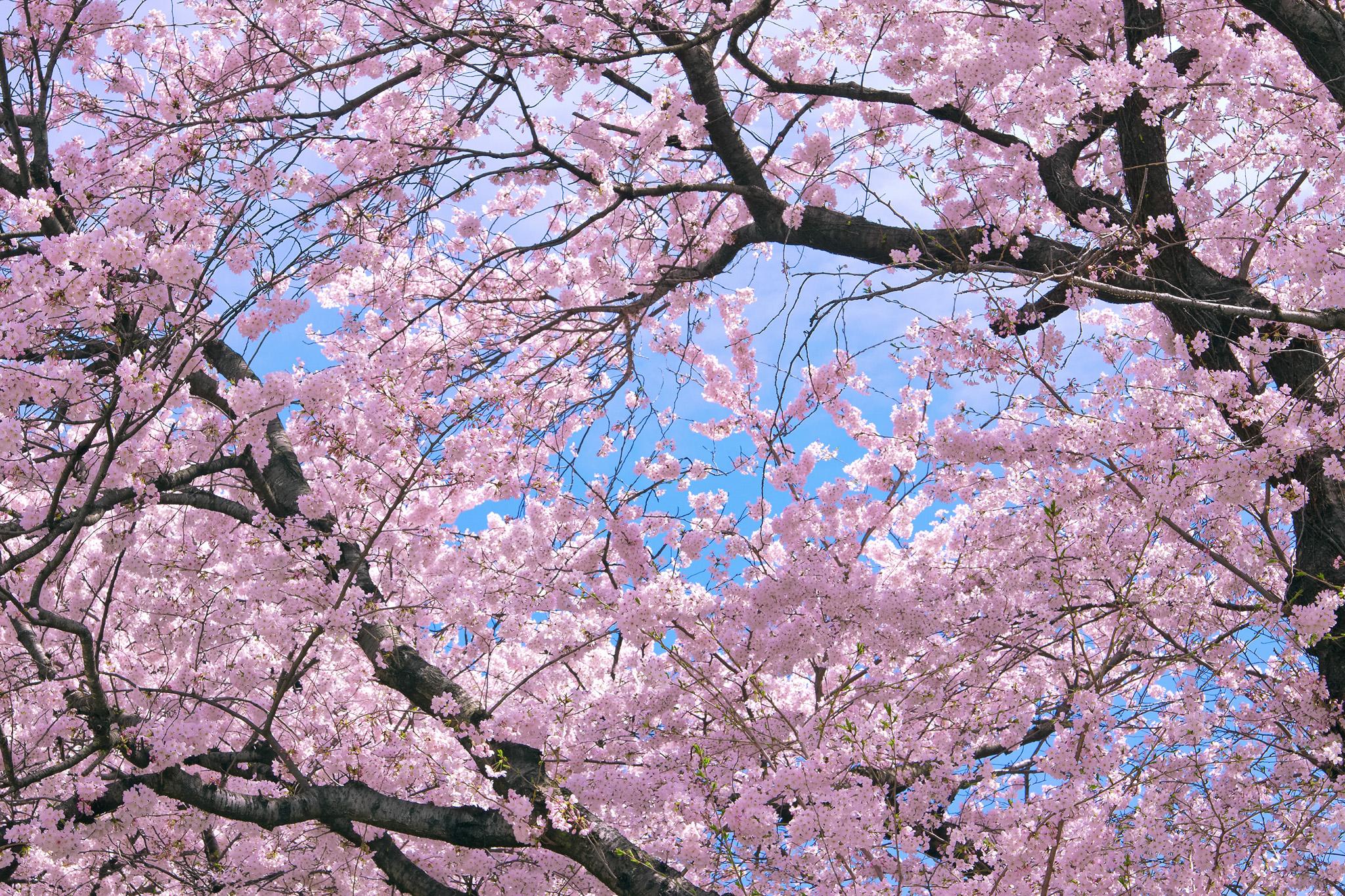 「咲き誇る見事な桜の大木」の素材を無料ダウンロード