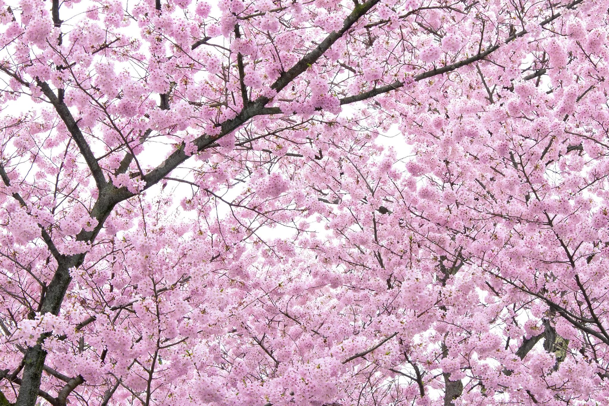 「満開のピンクの桜の木」